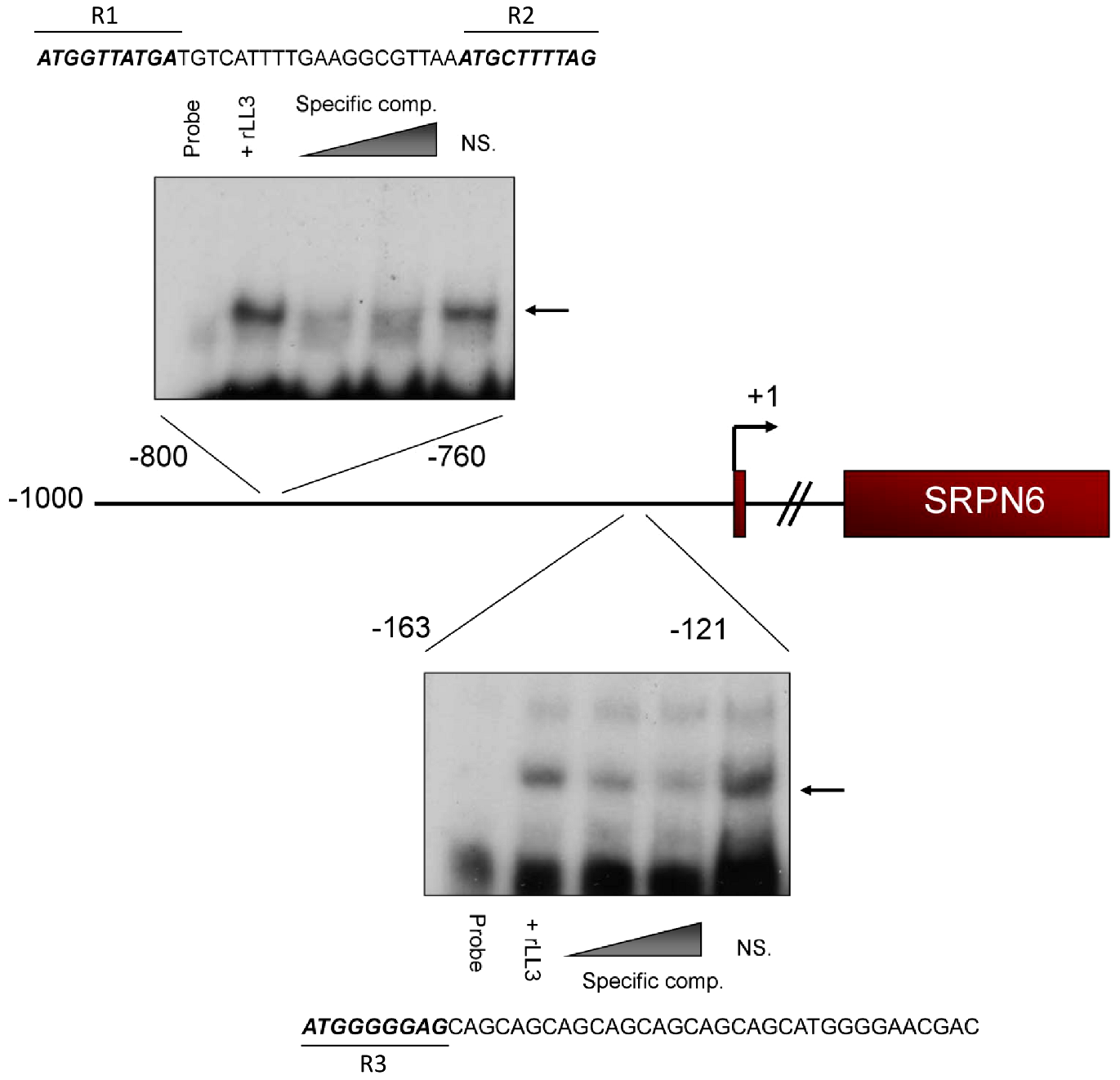 rLL3 binds to specific regions of the SRPN6 promoter.