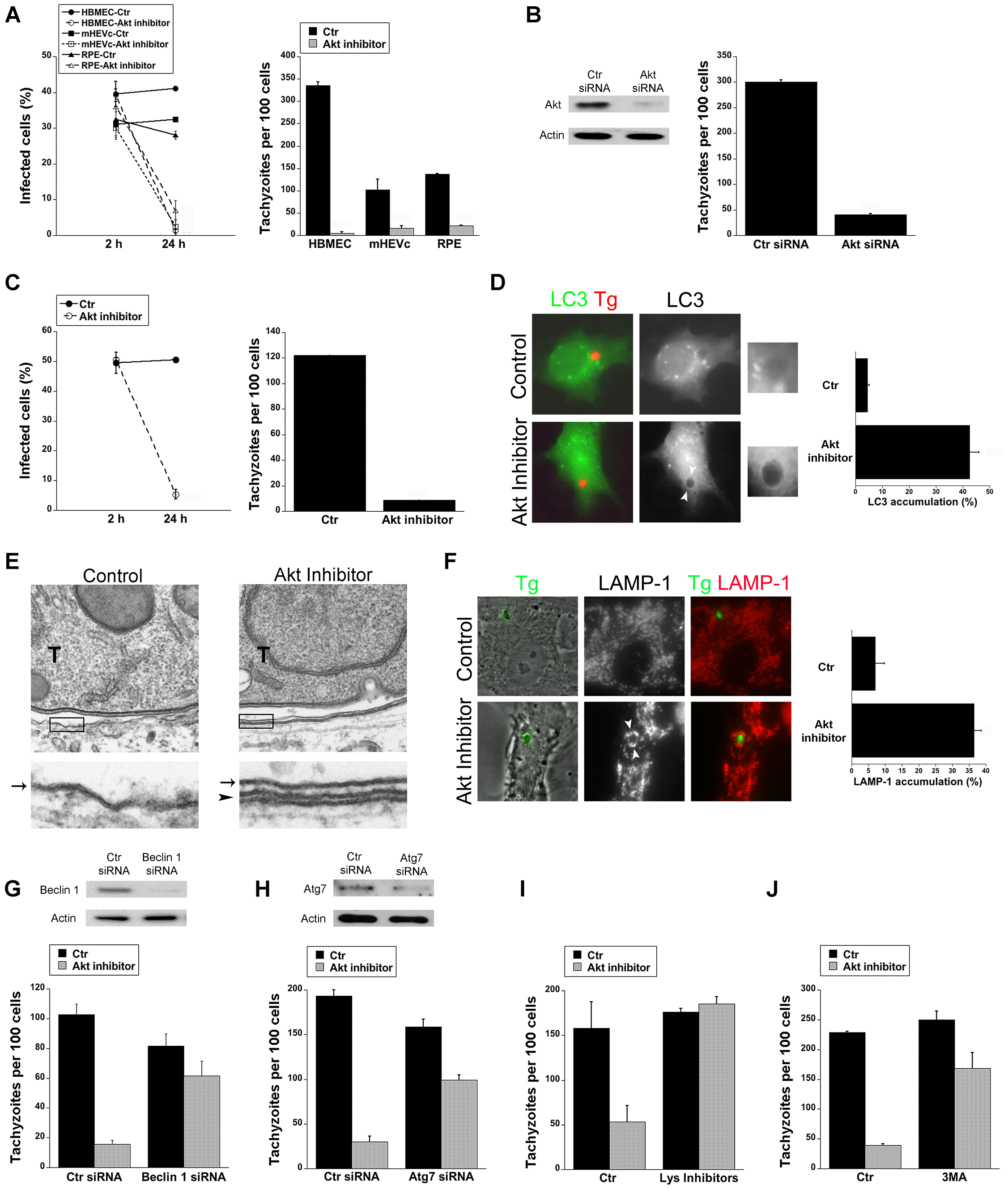 Blockade of Akt induces accumulation of the autophagy protein LC3 around the parasite, vacuole-lysosome fusion and killing of <i>T. gondii</i> dependent on the autophagy proteins.