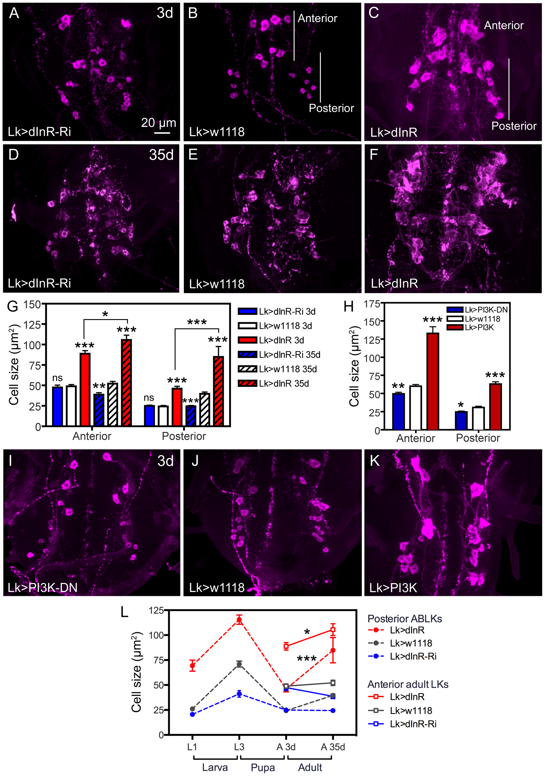 Manipulations of dInR in LK neurons also affect adult cell body size.
