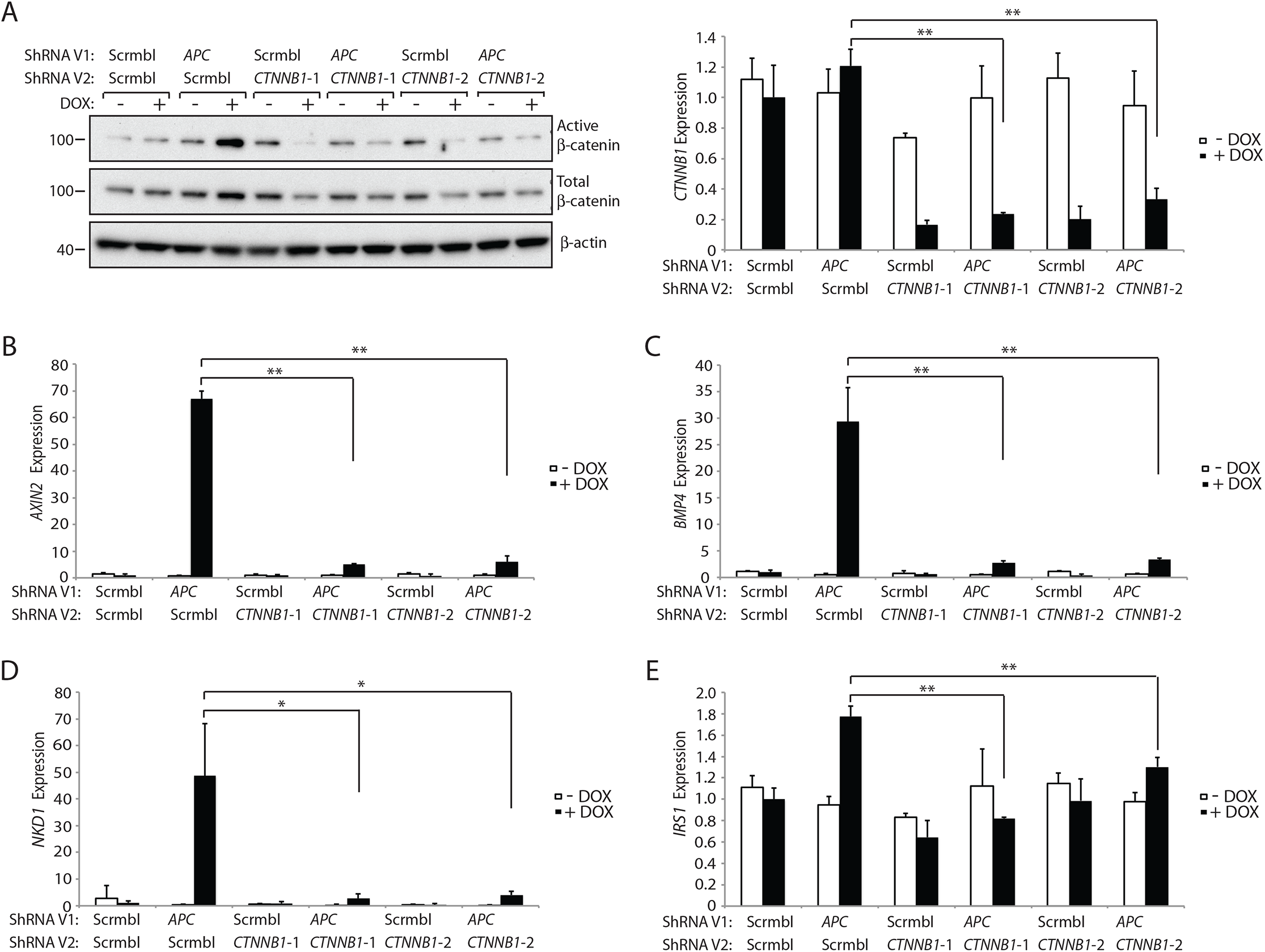 Inhibition of β-catenin expression by CTNNB1 shRNAs dramatically reduces the increase in the active pool of β-catenin and β-catenin/TCF-regulated target gene expression seen following <i>APC</i> inhibition in HCECs.