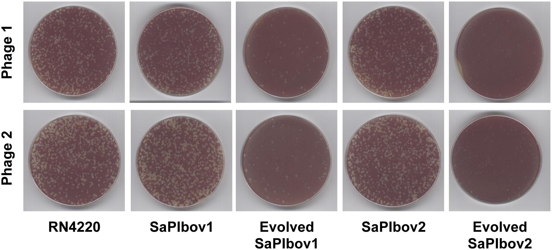 SaPI-driven phage evolution occurs <i>in vivo</i>.