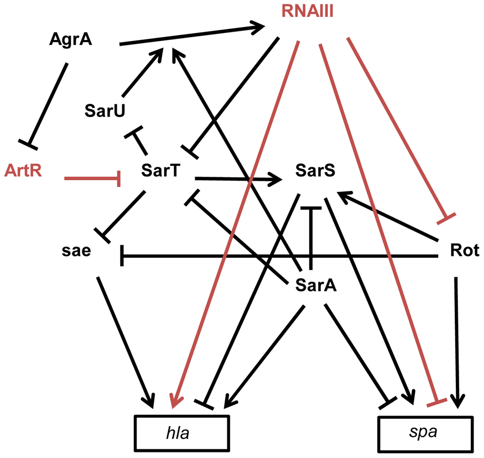 Schematic overview of the multiple interactions between sRNAs and transcriptional regulators involved in <i>spa</i> (protein A) and <i>hla</i> (α-hemolysin) expression in <i>S. aureus</i> strain 8325-4.