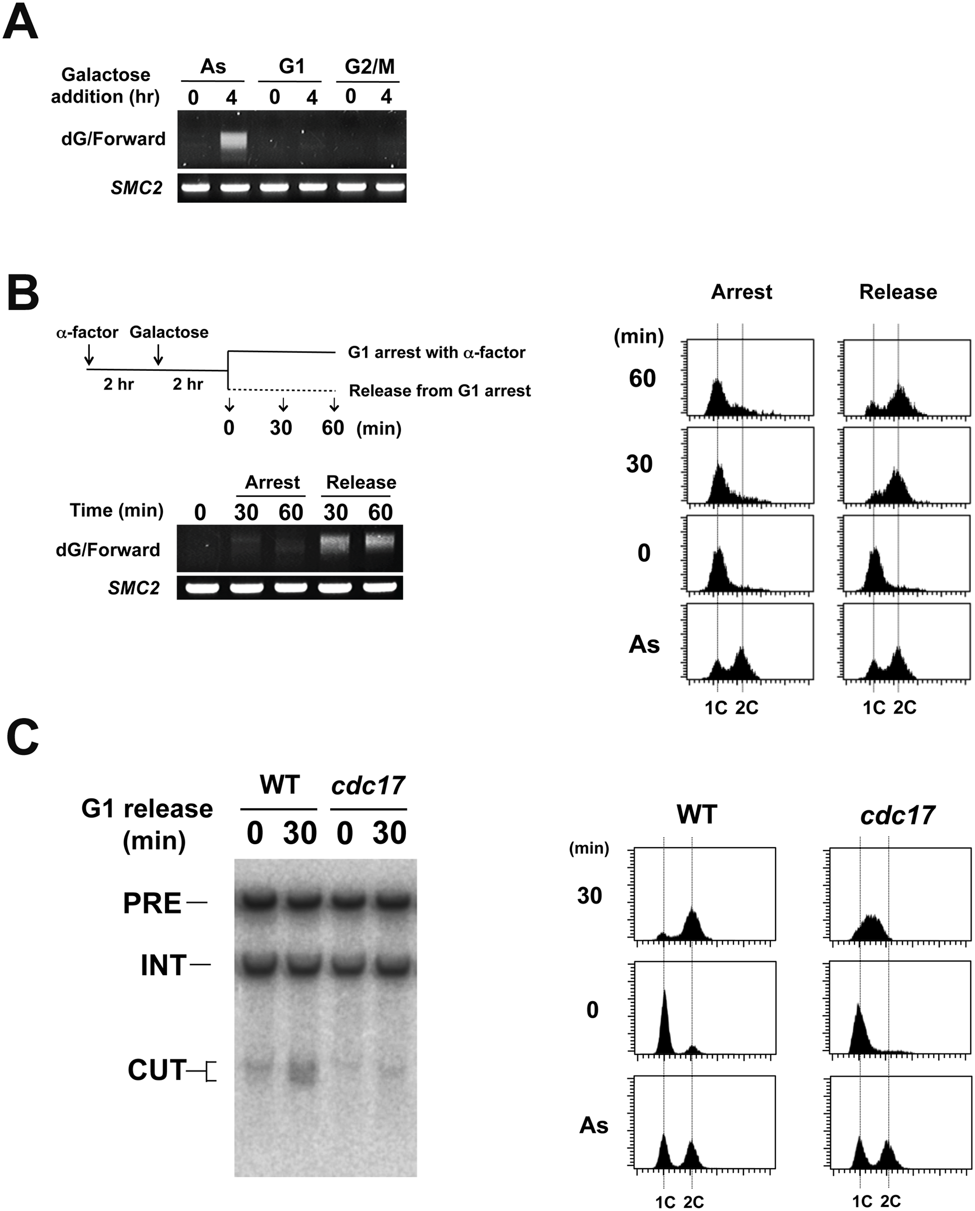 Effect of cell-cycle progression on Rap1-mediated DSB induction.