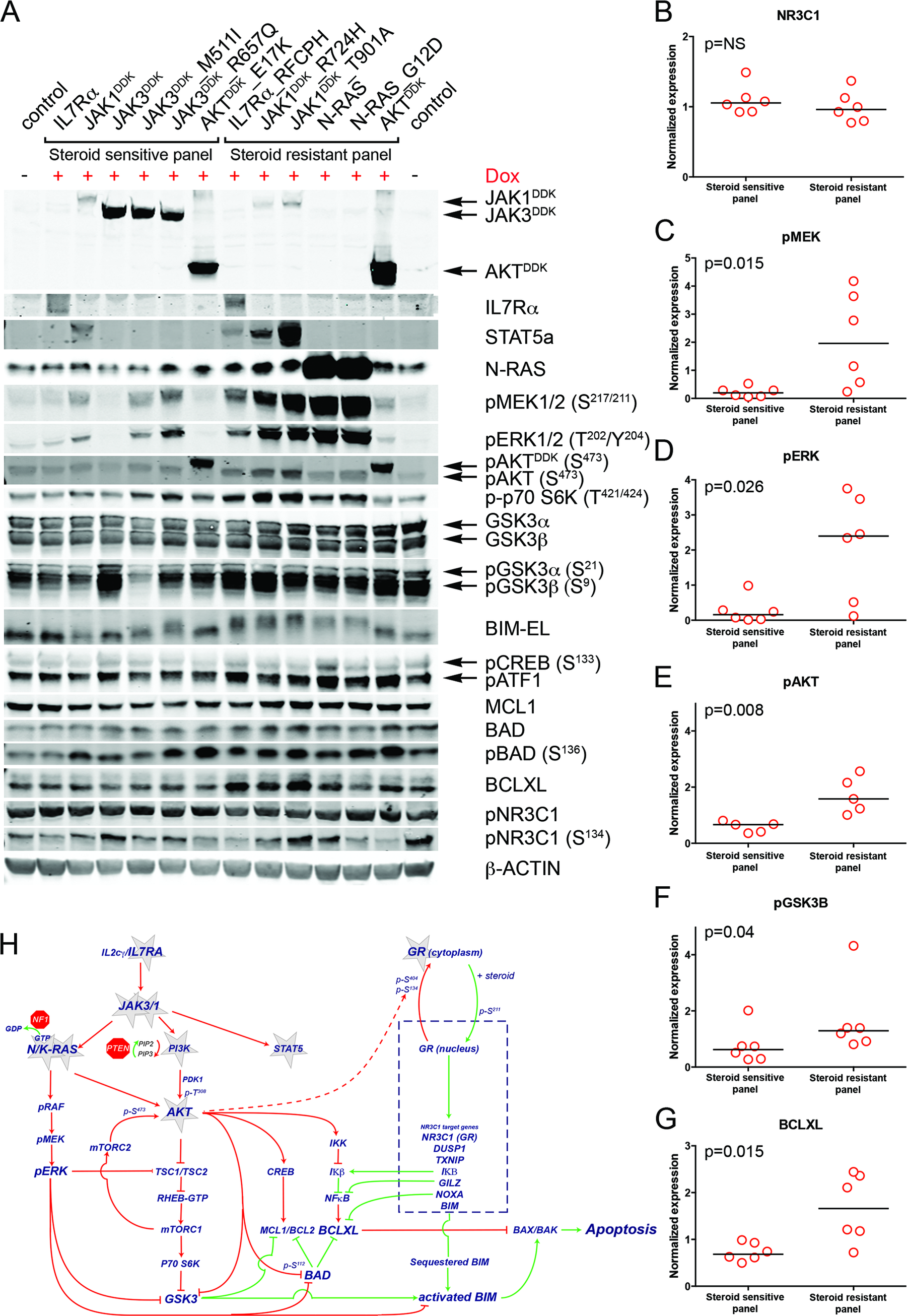 Steroid resistance induced by wild-type or mutant IL7R signaling molecules is associated with activation of MEK-ERK and/or AKT.