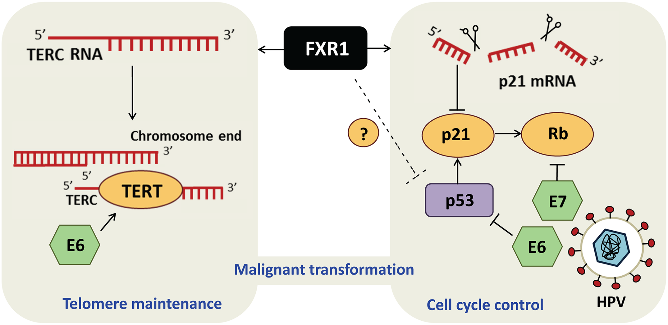 FXR1 engages dual mechanisms to promote malignant transformation in HNSCC.
