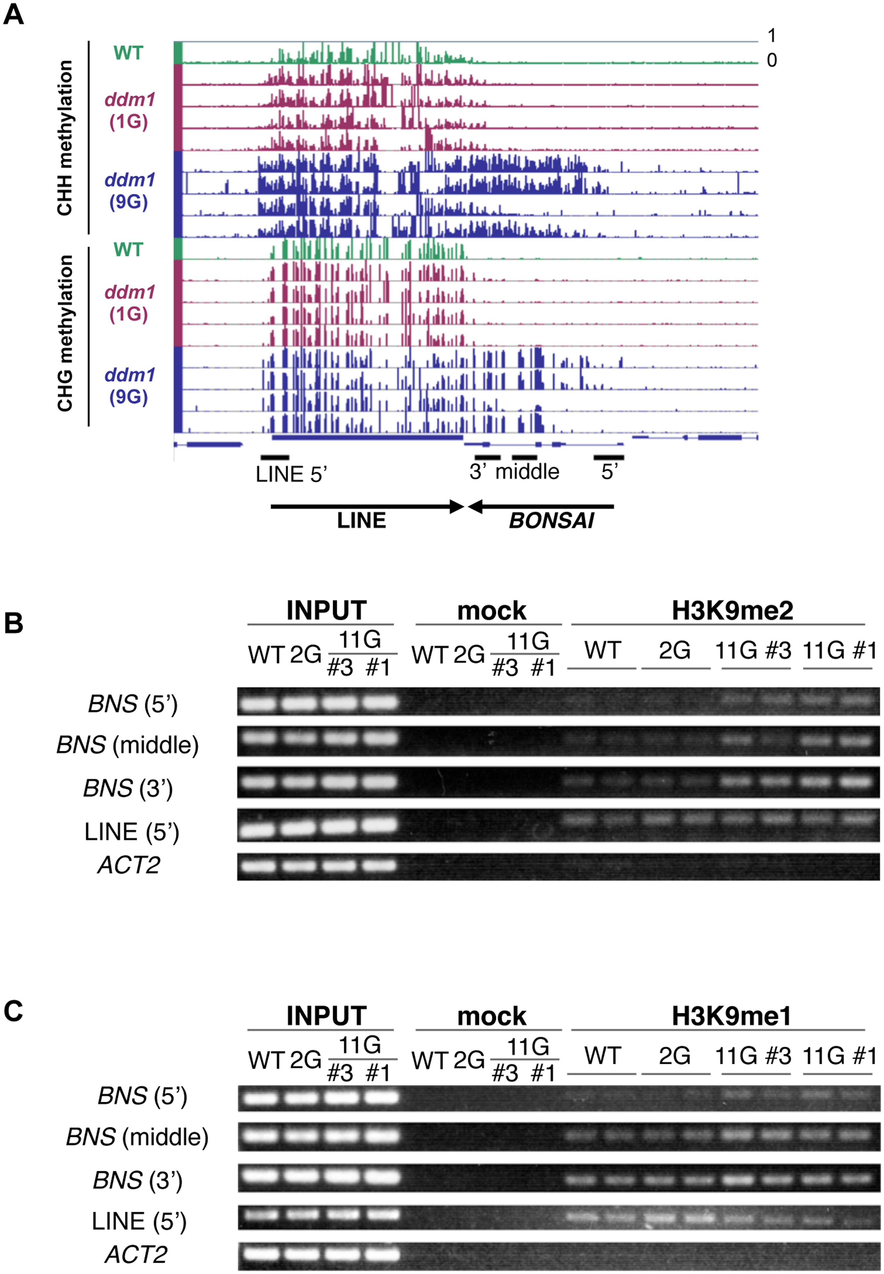 <i>BONSAI</i> hypermethylation in self-pollinated <i>ddm1</i> mutants is associated with H3K9 methylation.