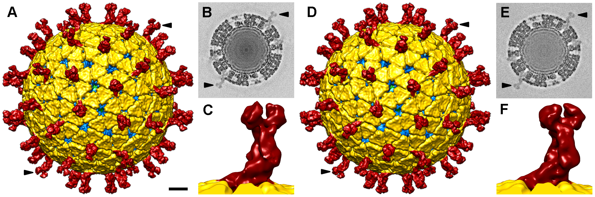 Single particle three-dimensional structures of SA11 NTR- and TR-TLP.