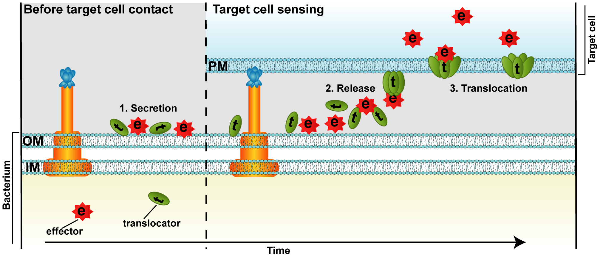 Proposed model for T3SS-dependent protein translocation by a binary AB toxin like mechanism.