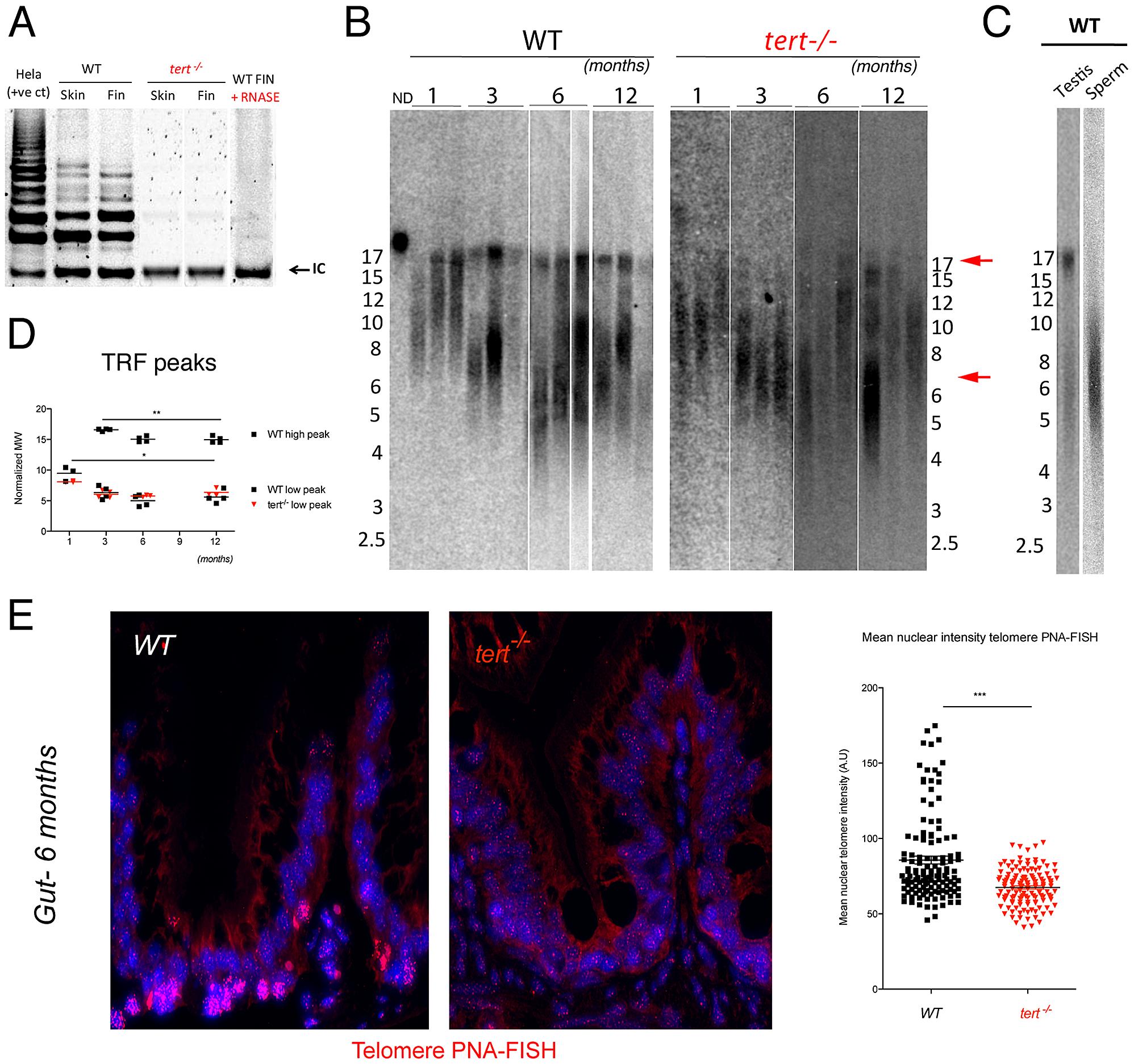 Telomerase mutant zebrafish have shorter telomeres than WT siblings.