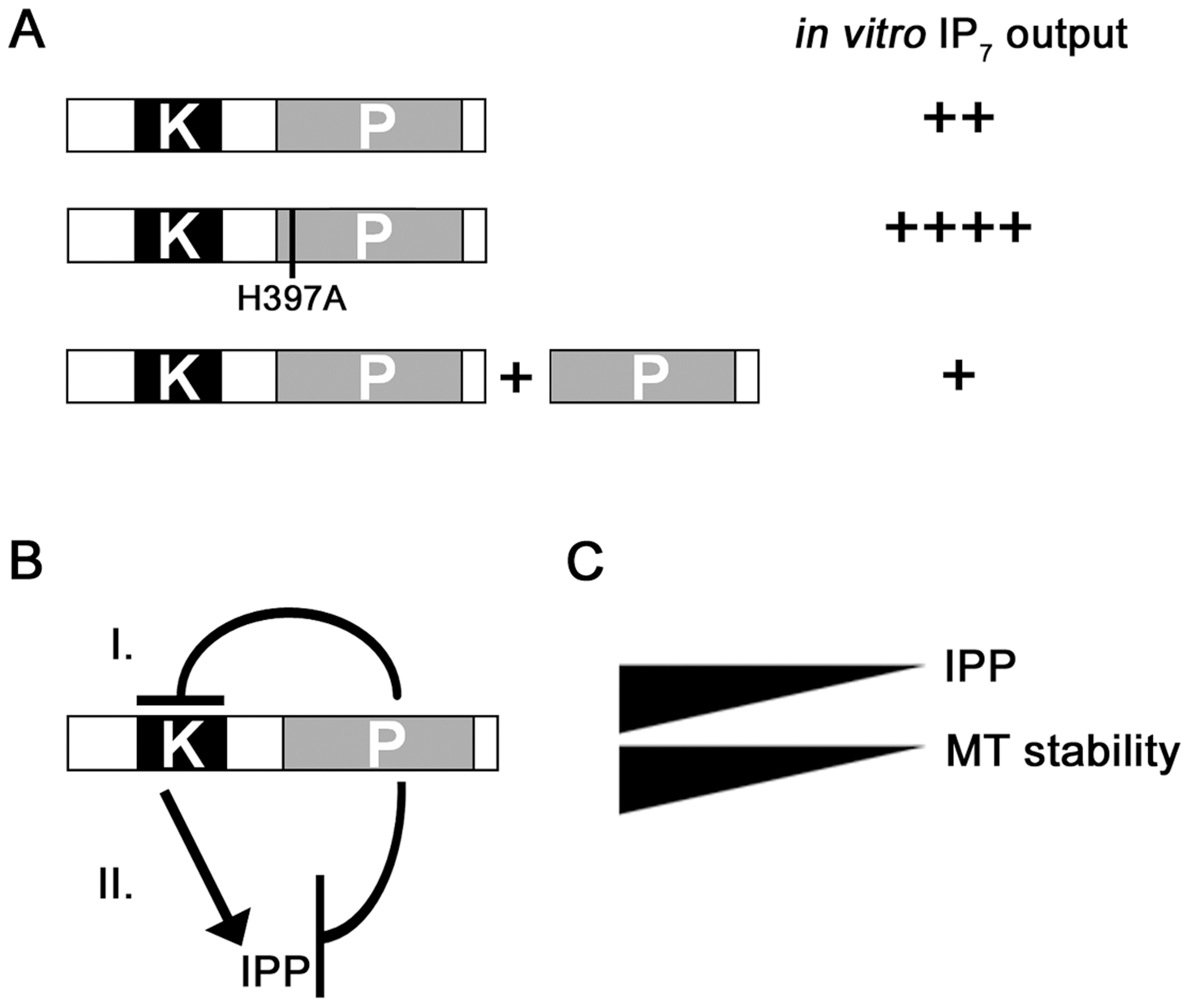 Model for the regulation of Asp1 kinase function by the C-terminal phosphatase domain.
