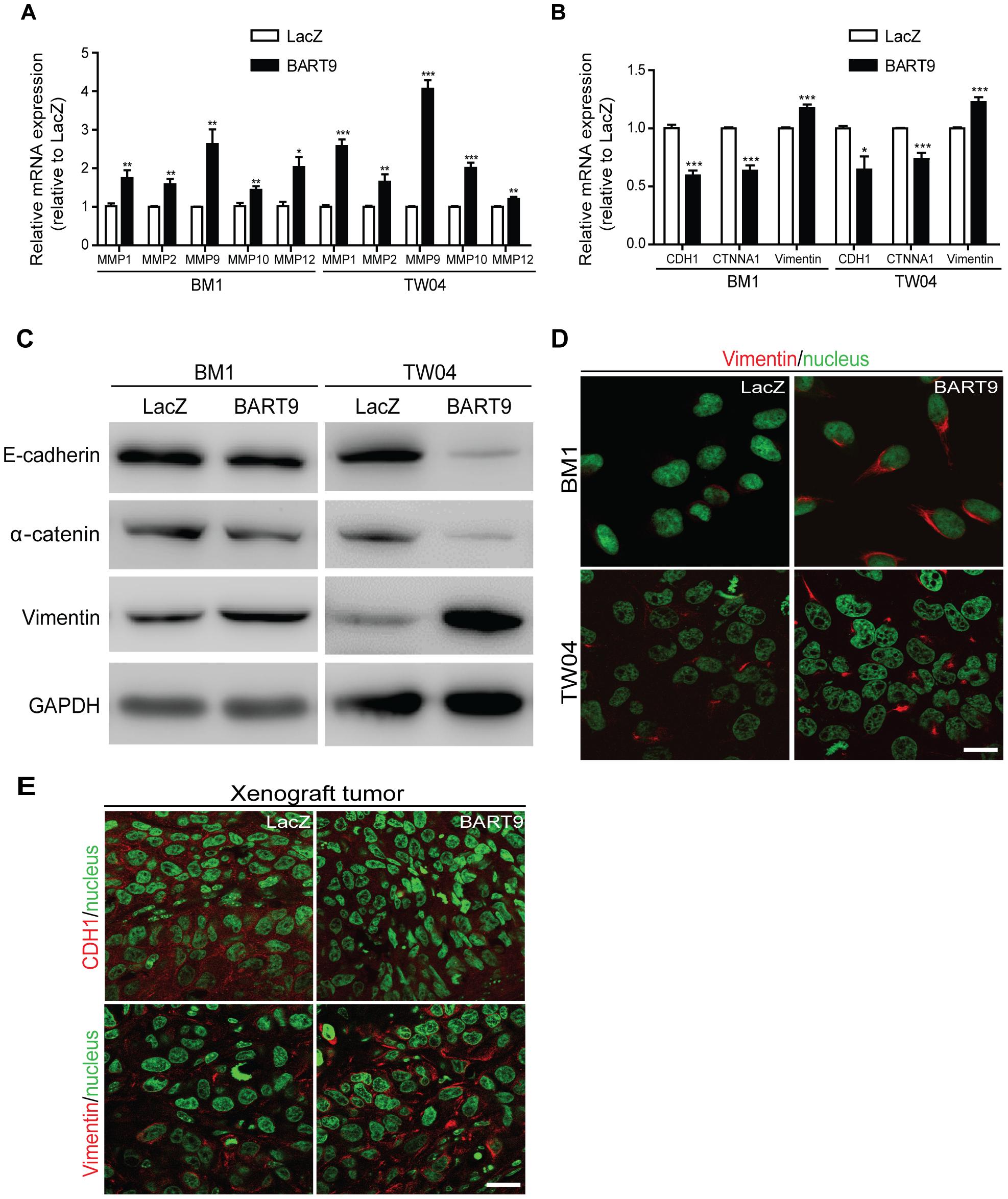 miR-BART9 up-regulates mesenchymal markers in EBV-negative NPC cells.