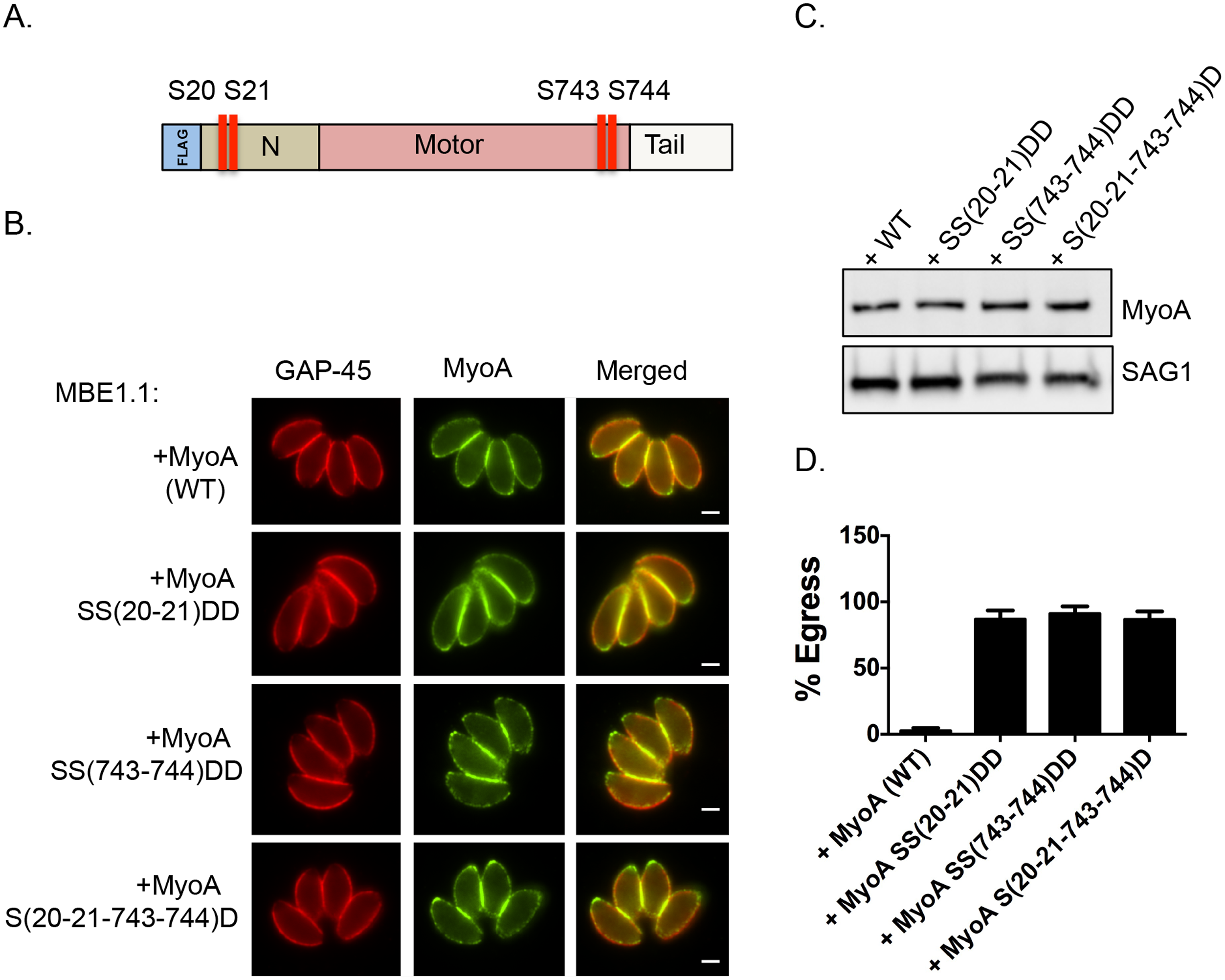 Constitutive phosphorylation of TgMyoA negates the requirement for TgCDPK3 during egress.