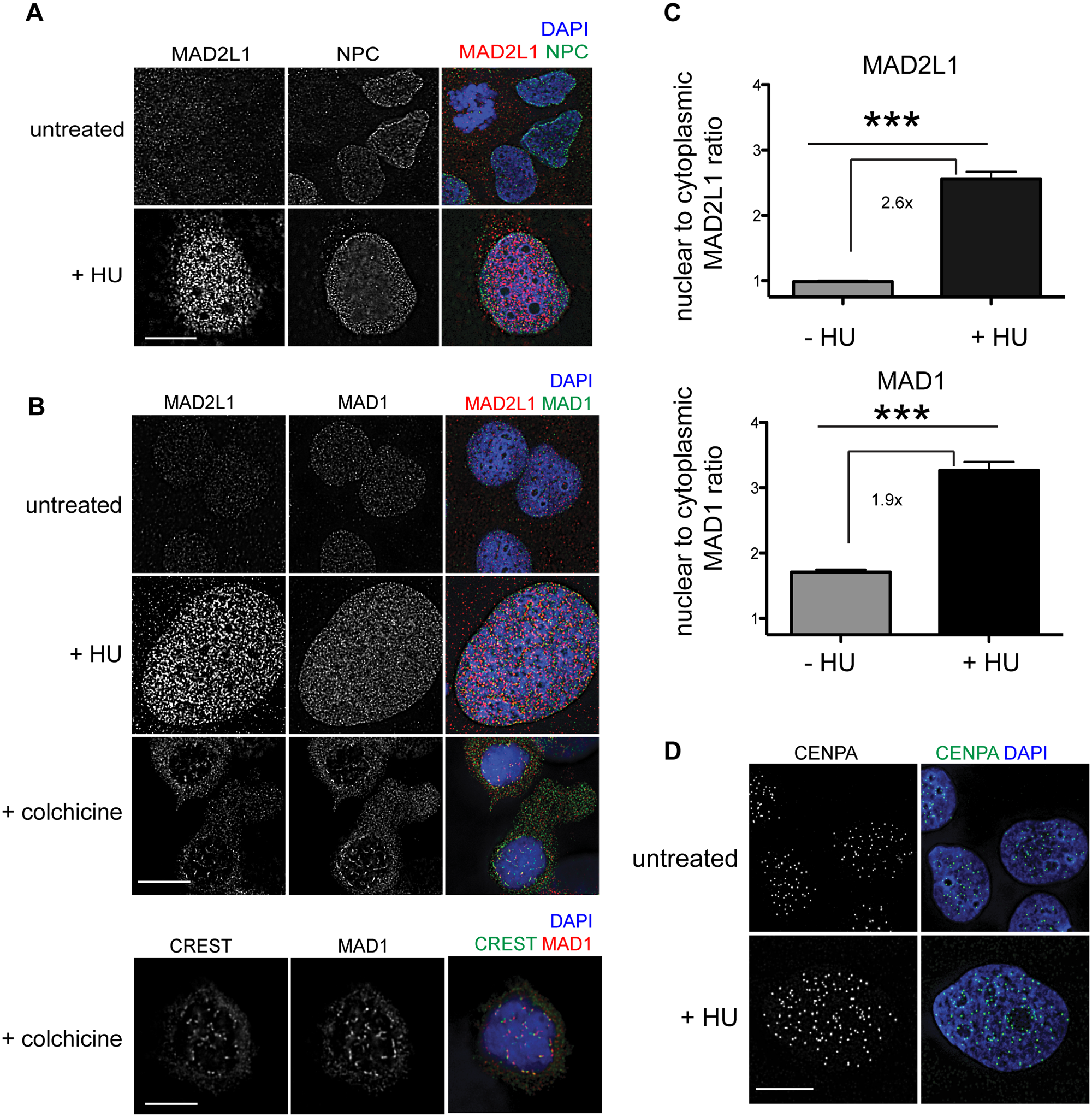 MAD1 and MAD2L1 are enriched in the nucleus in U2OS cells after HU exposure.