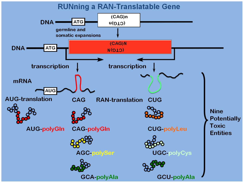 RUNning a RAN-gene.