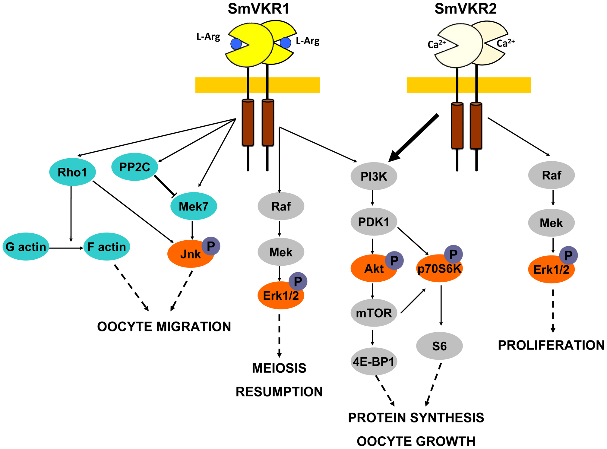 Summary of the major signalling pathways triggered by the activation of SmVKR and potentially regulating fate and differentiation of oocytes in female schistosome organs.