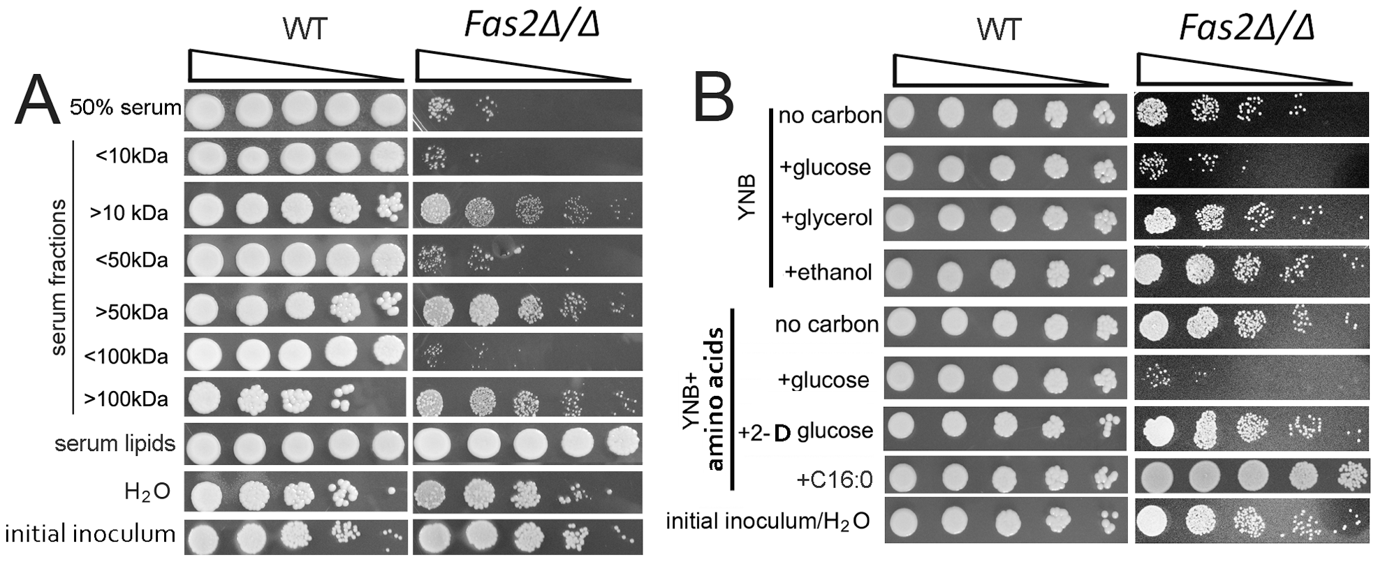 <i>Fas2Δ/Δ</i> strain is susceptible to serum and glucose containing media.