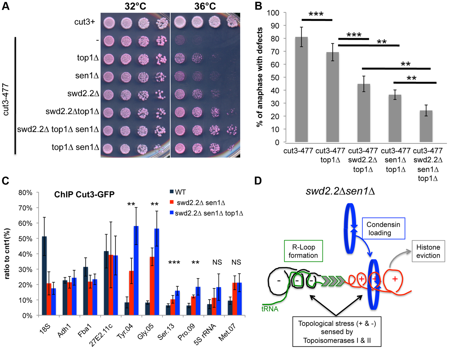 Lack of Top1 further increases the association of condensin with Pol III-transcribed genes when Swd2.2 and Sen1 are missing.