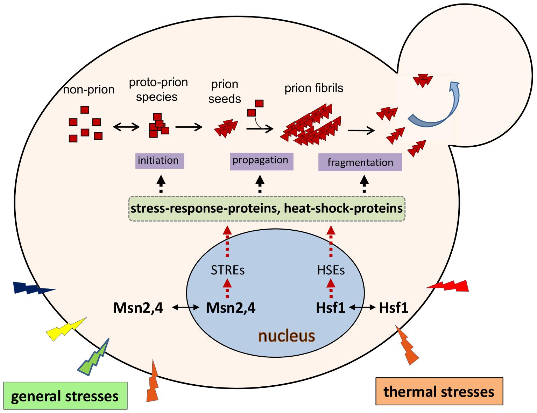 Environmental regulation of yeast prions.
