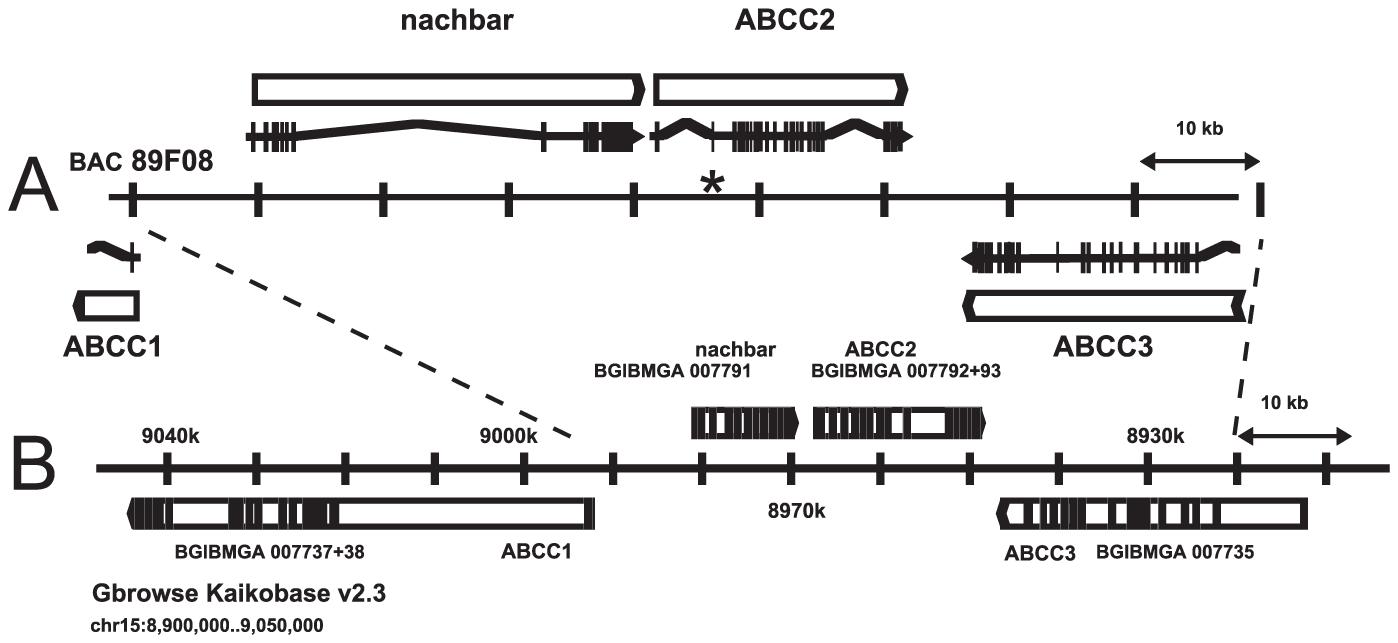 ABCC2 genomic region.