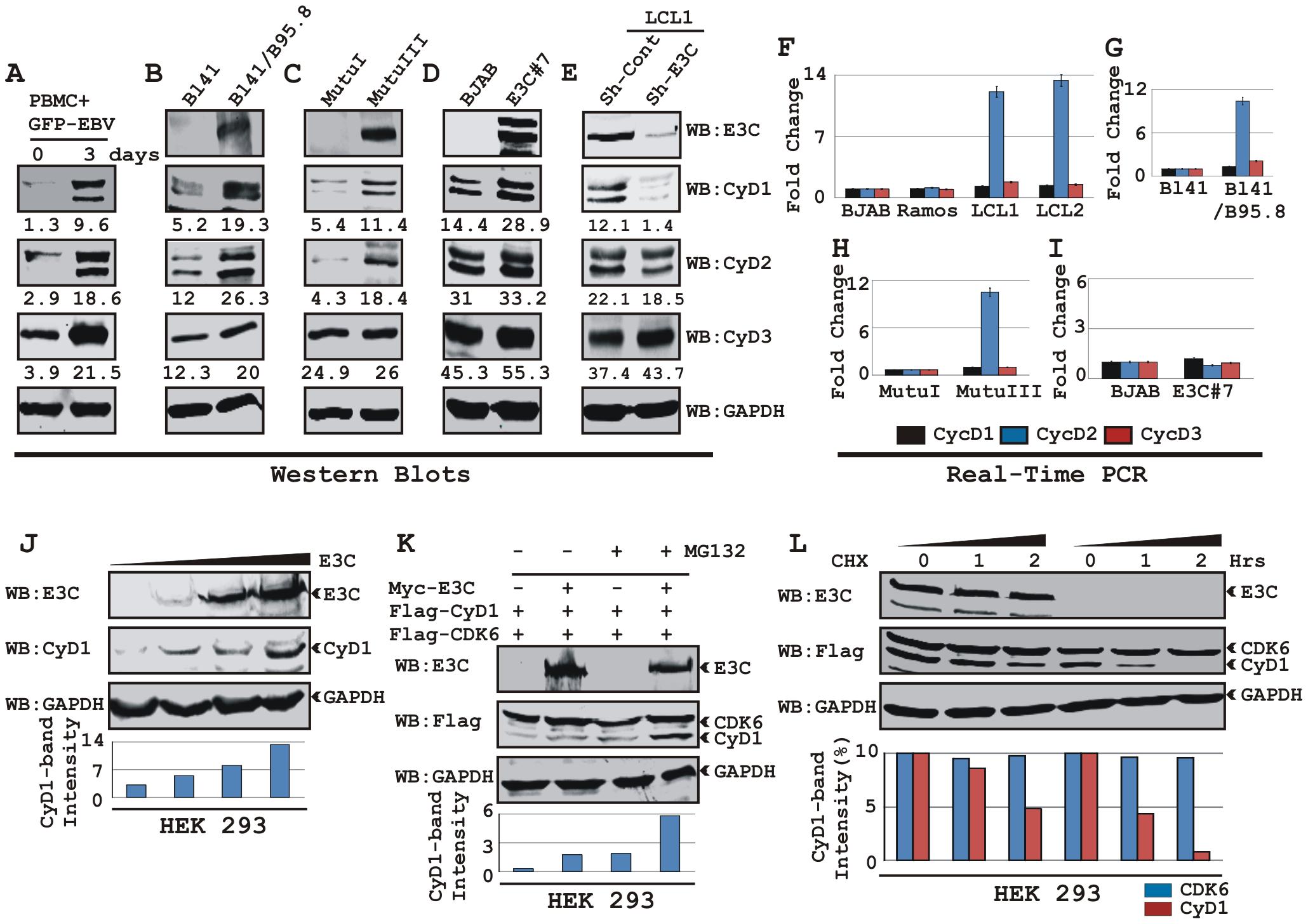 EBV nuclear antigen EBNA3C stabilizes Cyclin D1 protein level.