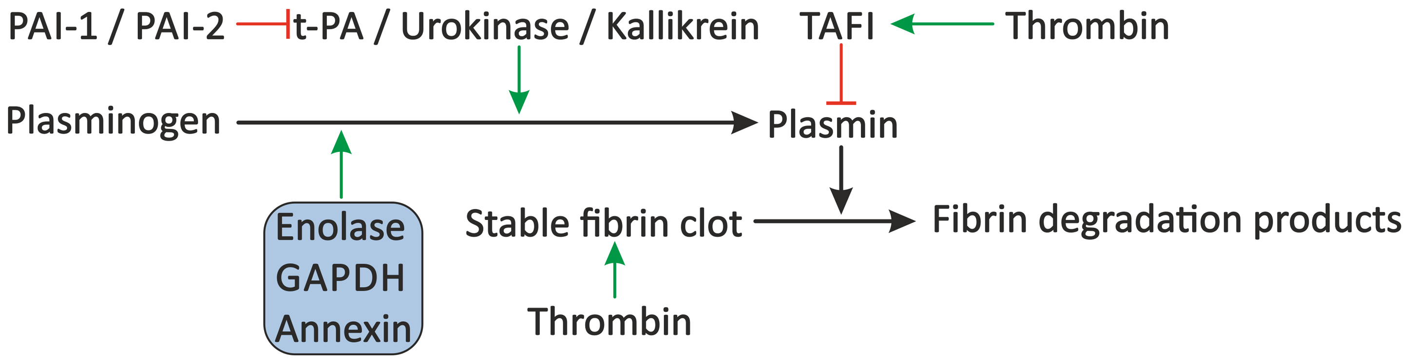 Proposed modulation of the fibrinolytic system by schistosomes.