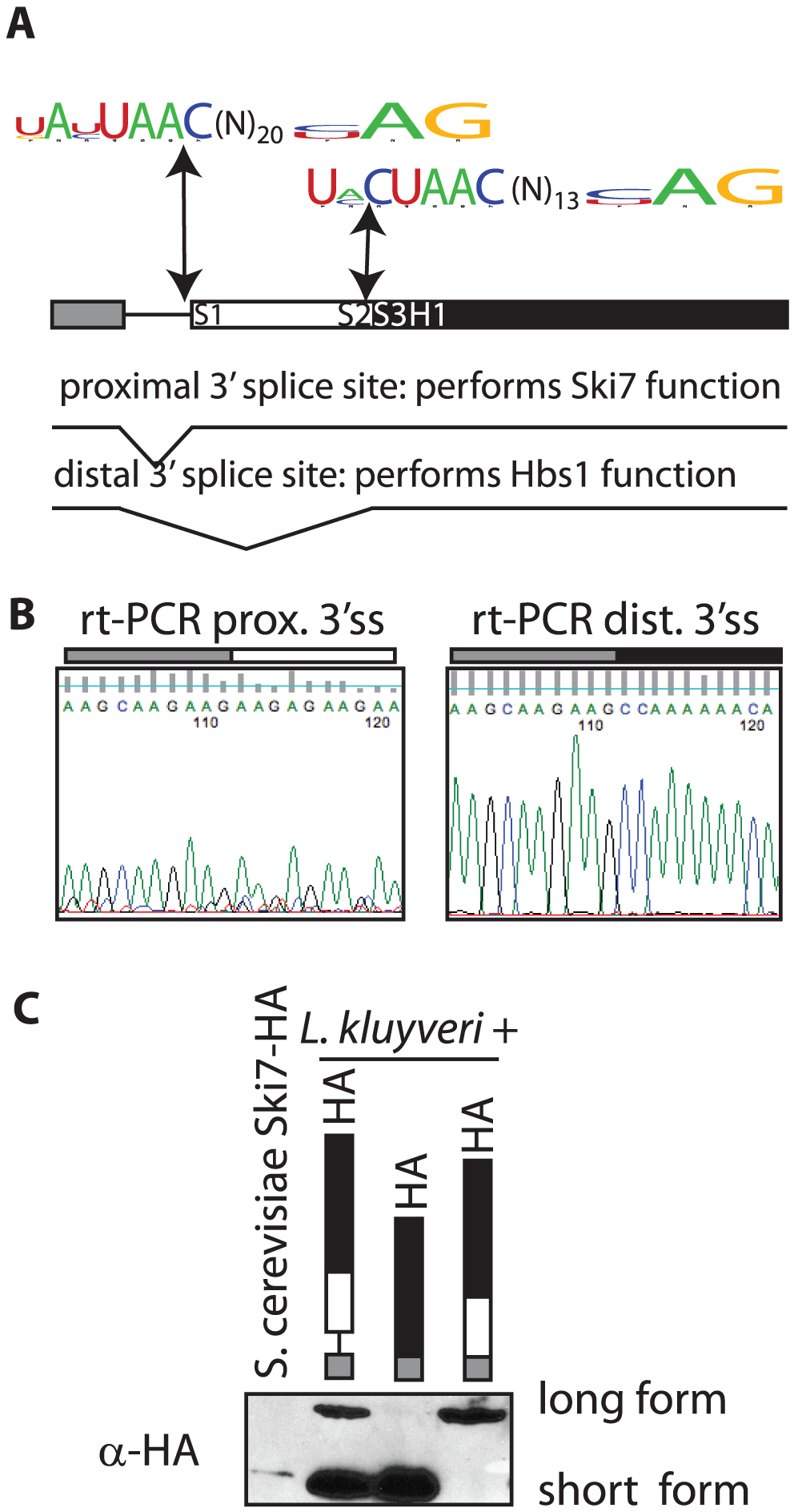 The <i>SKI7/HBS1</i> gene in pre-whole-genome duplication <i>Saccharomycetaceae</i> encodes two different proteins.