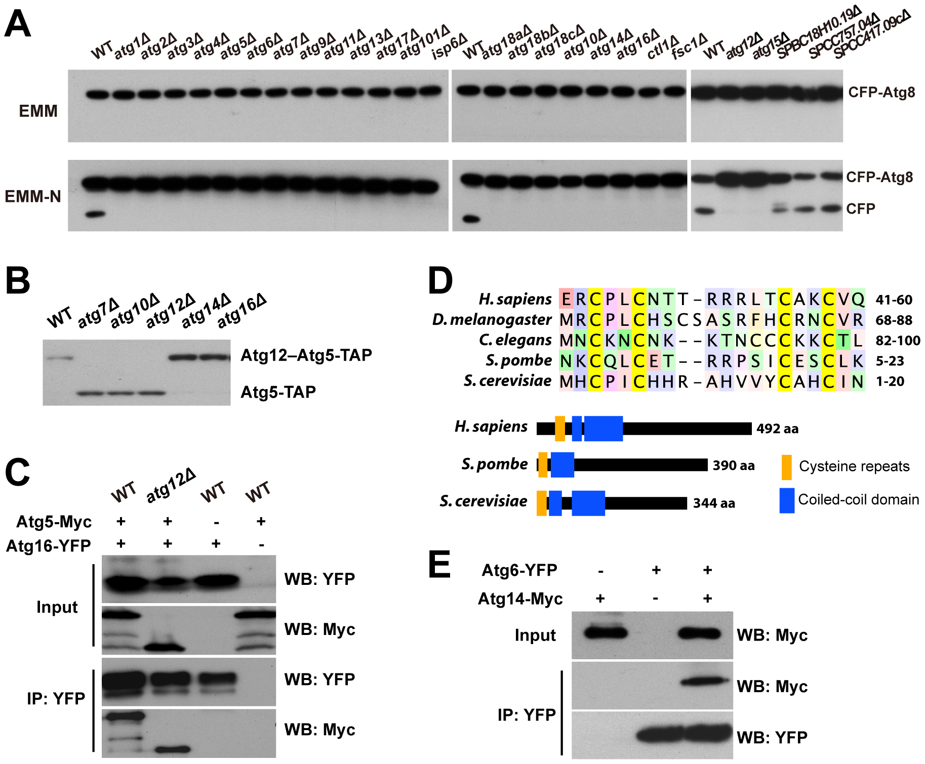 CFP-Atg8 processing defect of autophagy mutants and the identification of Atg10, Atg16, and Atg14.
