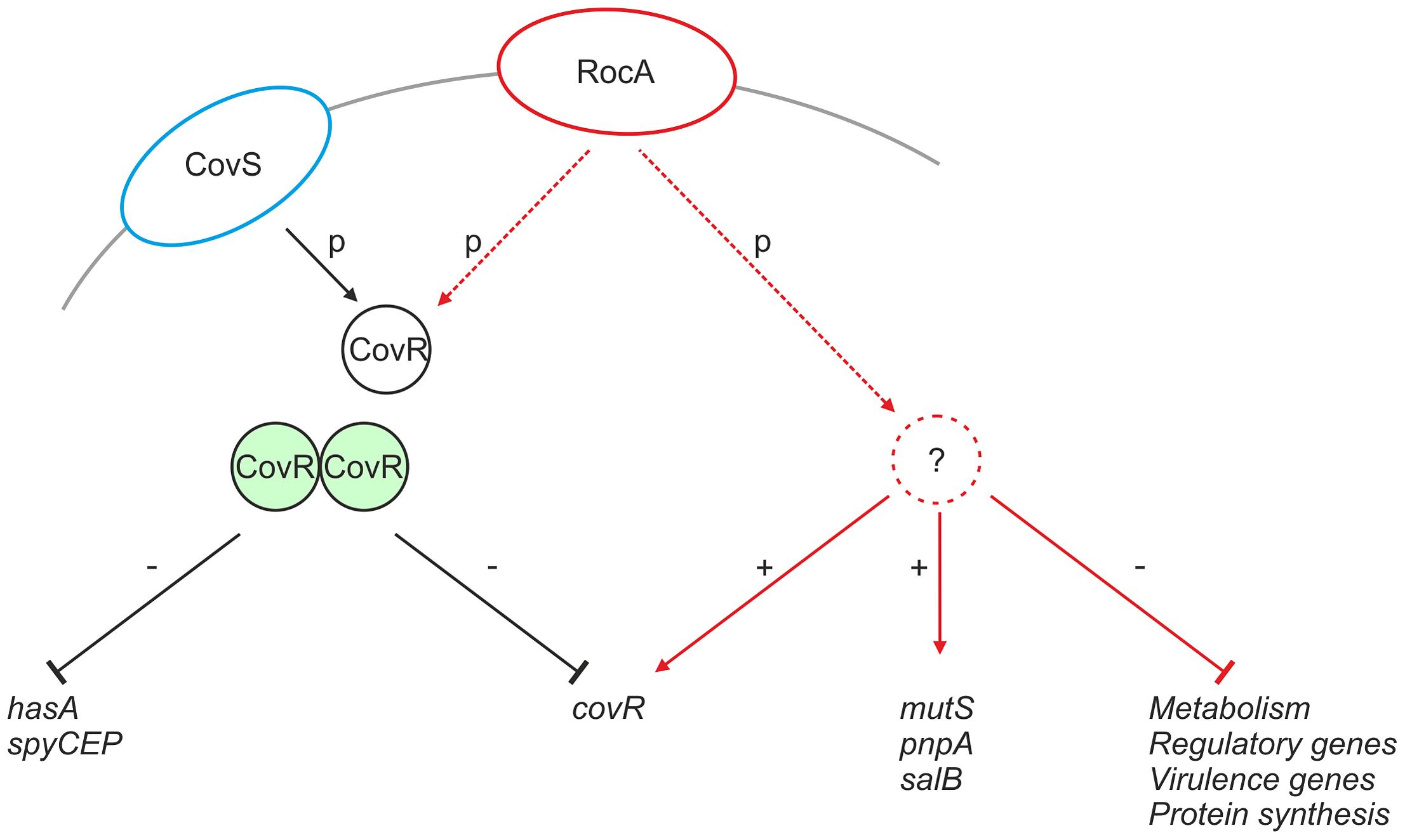 Proposed mechanism of RocA mediated activity.