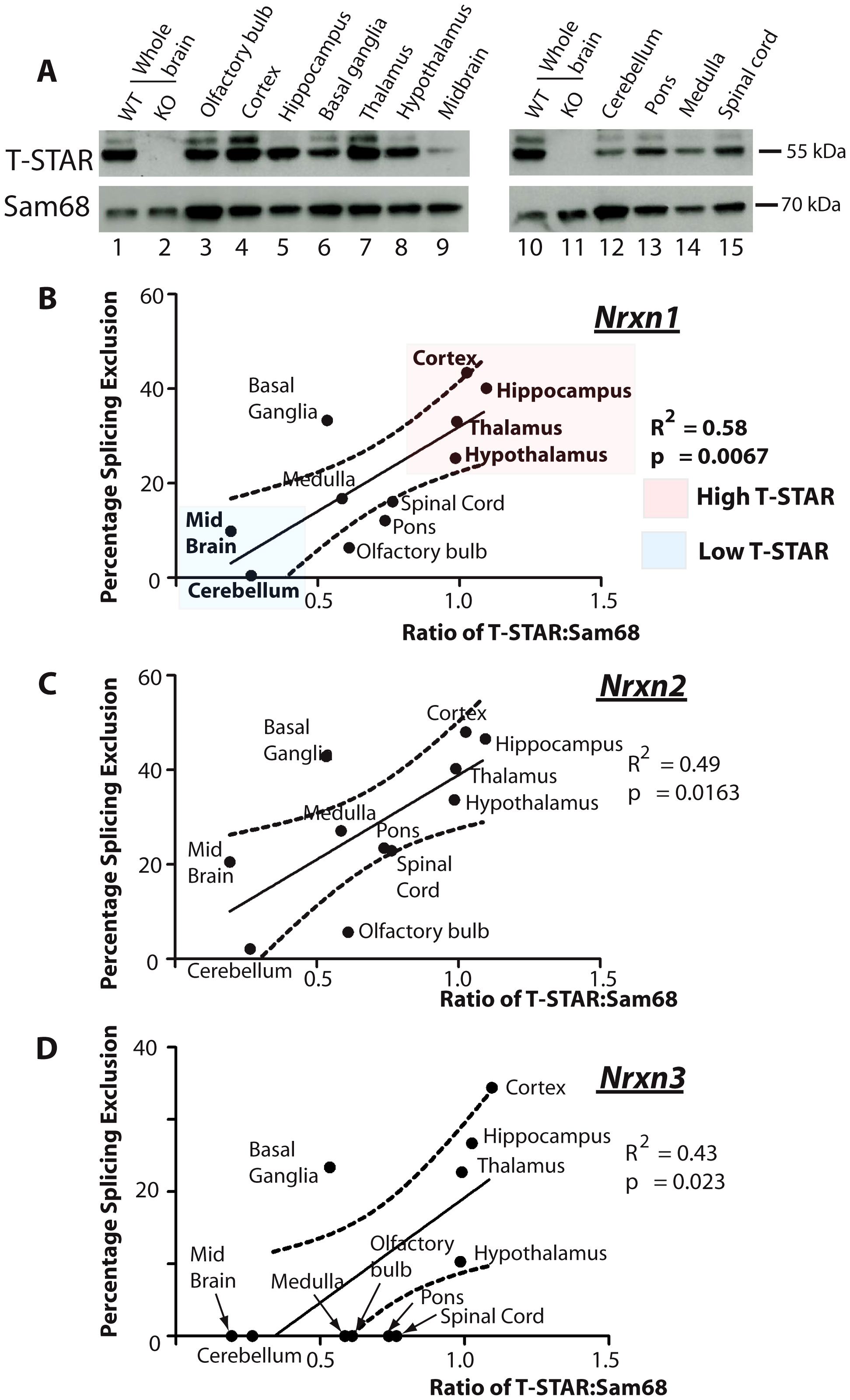 T-STAR protein concentration correlates with <i>Nrxn1-3</i> AS4 alternative splicing patterns.