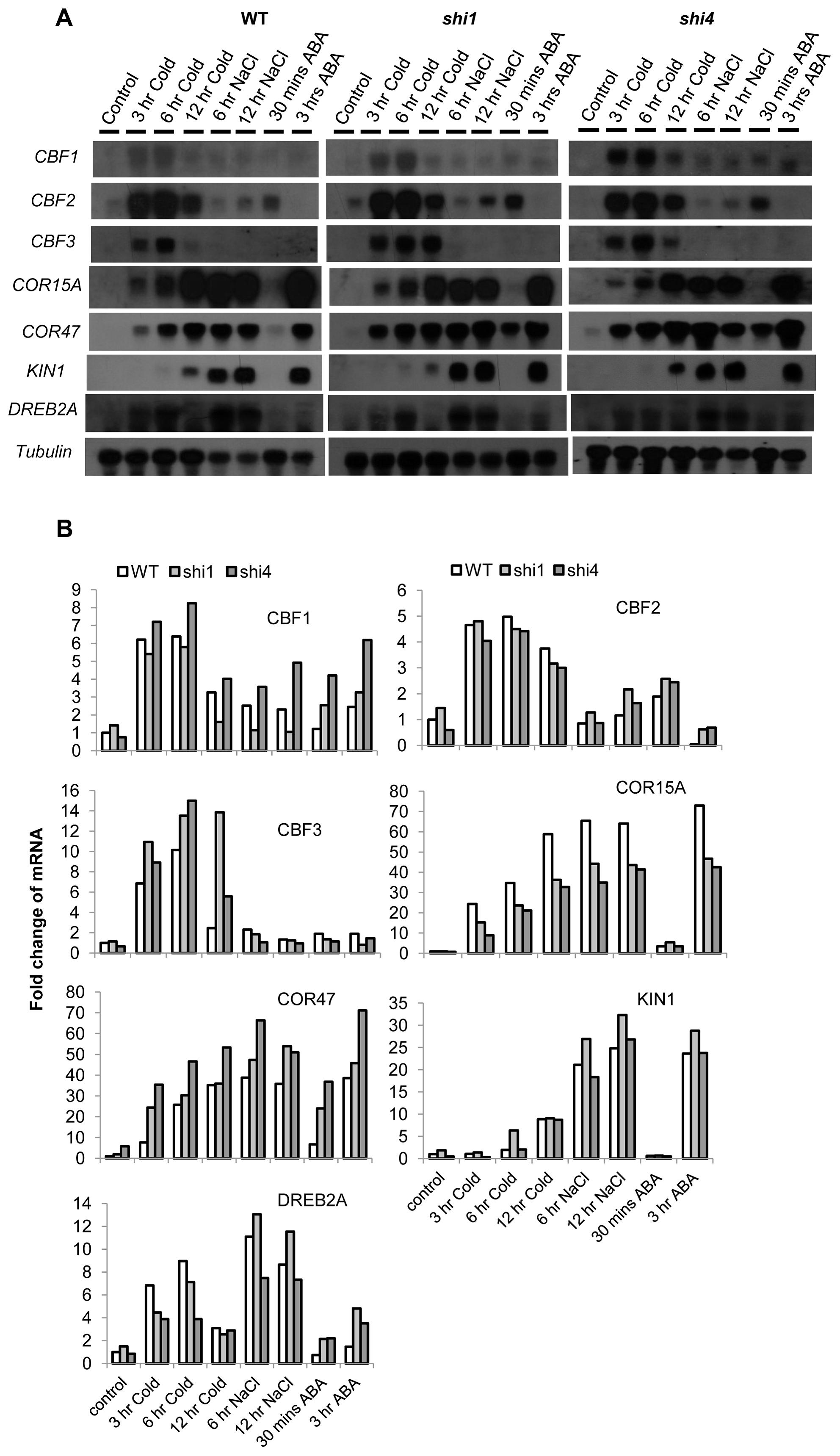 Detection of stress-inducible gene expression in wild type, <i>shi1</i> and <i>shi4</i> mutants.