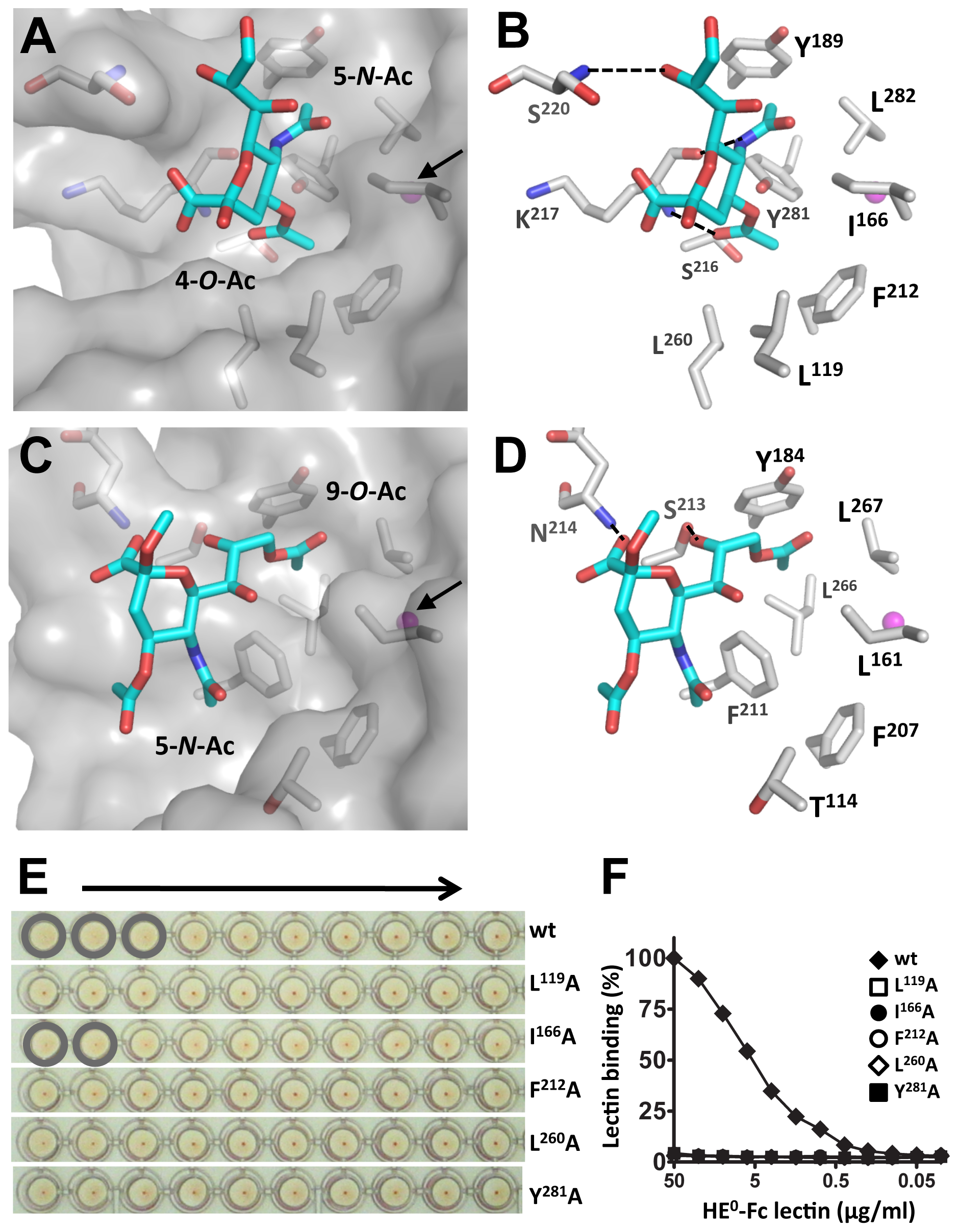 MHV<i>-S</i> HE has a unique receptor-binding site that binds specifically 4-<i>O</i>-acetylated sialic acid.