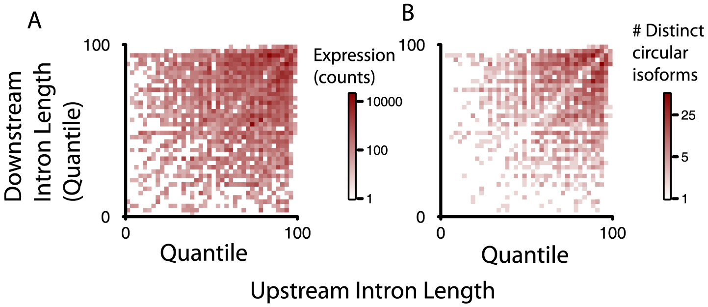 Intron length is enriched around exons defining circular RNA, but alone not explanatory of circular RNA expression.