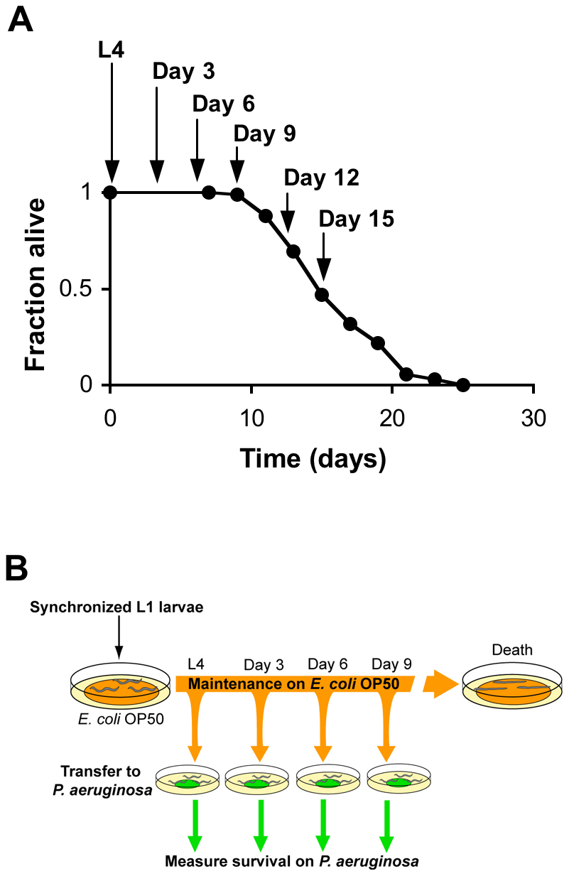 Systematic analysis of the survival of aging <i>C. elegans</i> upon challenge with pathogenic bacteria.
