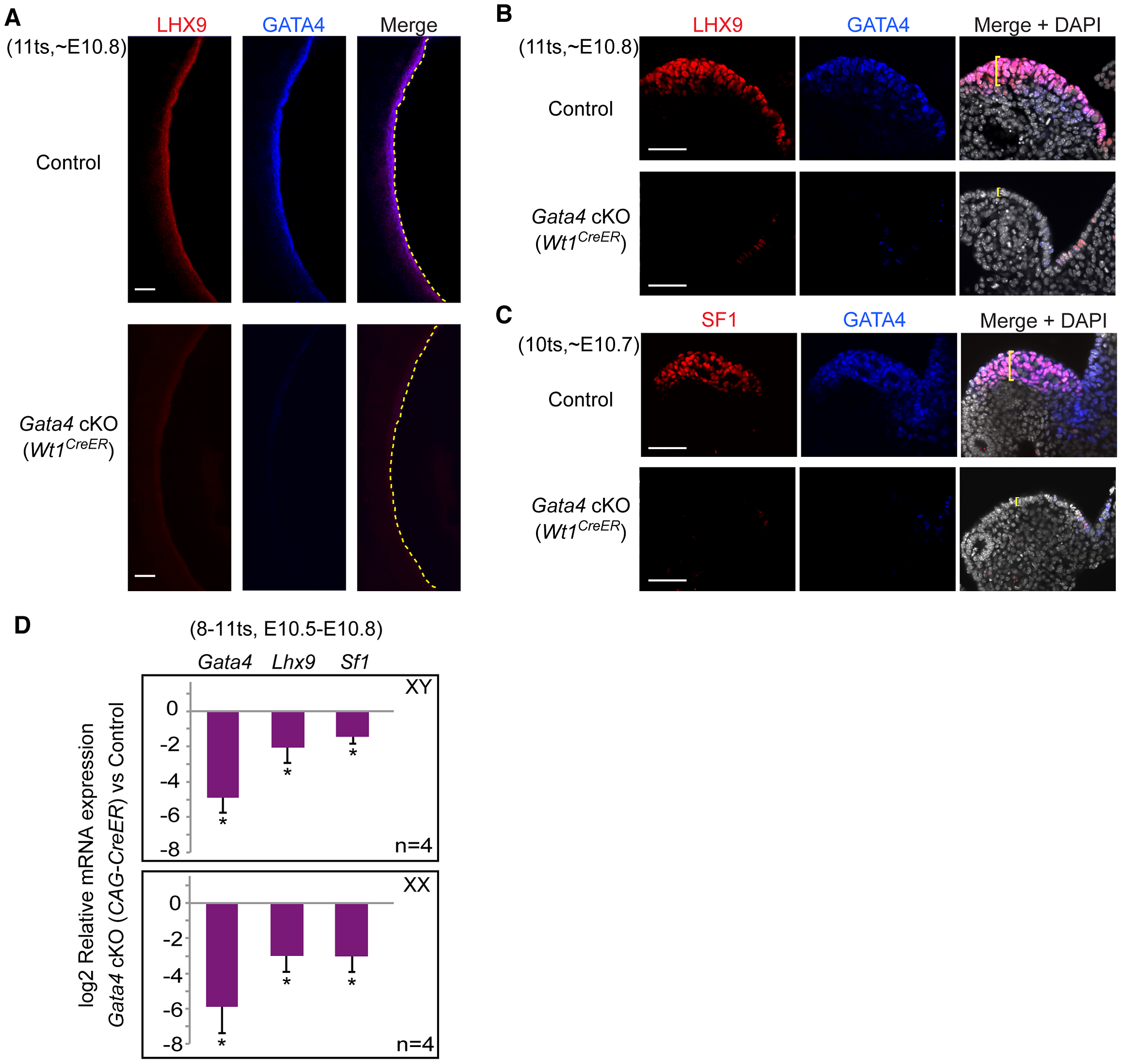 <i>Gata4</i> is required for expression of early gonadal differentiation regulators LHX9 and SF1.