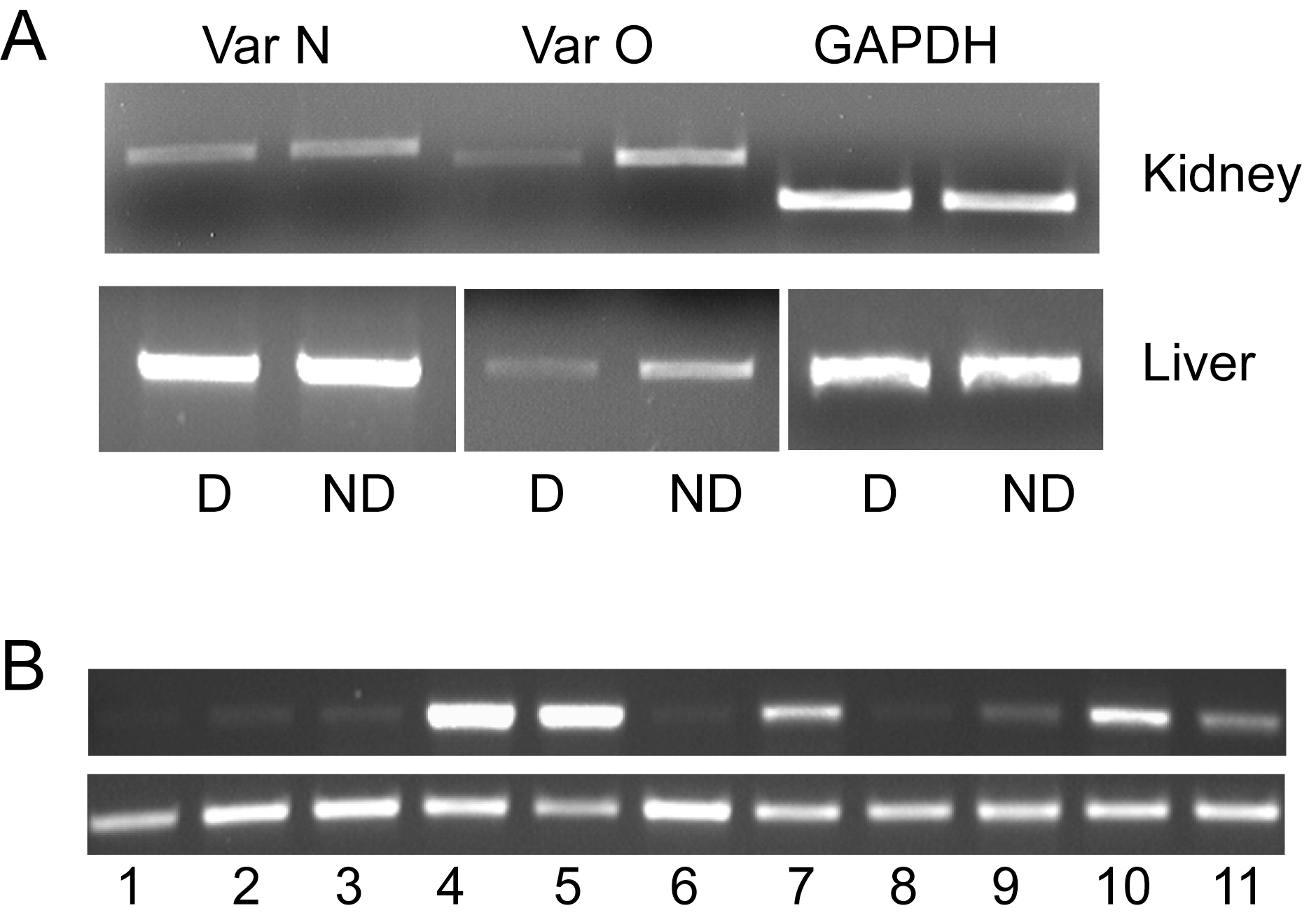 Tissue and isoform expression of canine SLC2A9.