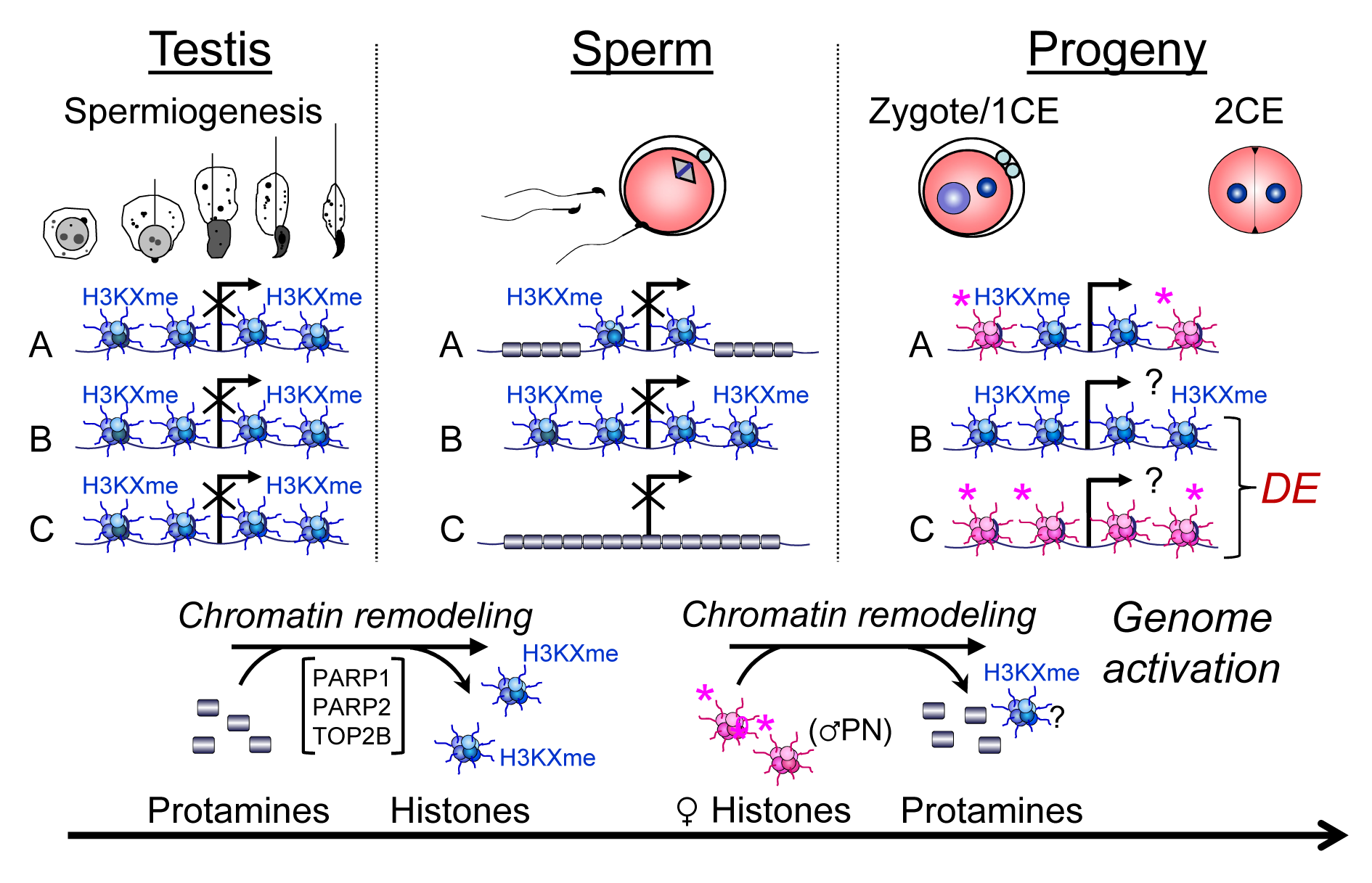 Chromatin remodeling events in spermiogenesis affect sperm histone-dependent regulation of gene expression during embryonic genome activation (working model).