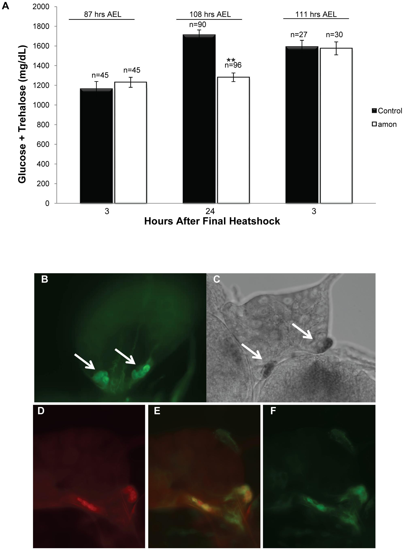 Larvae lacking functional <i>amon</i> have reduced hemolymph sugar levels.