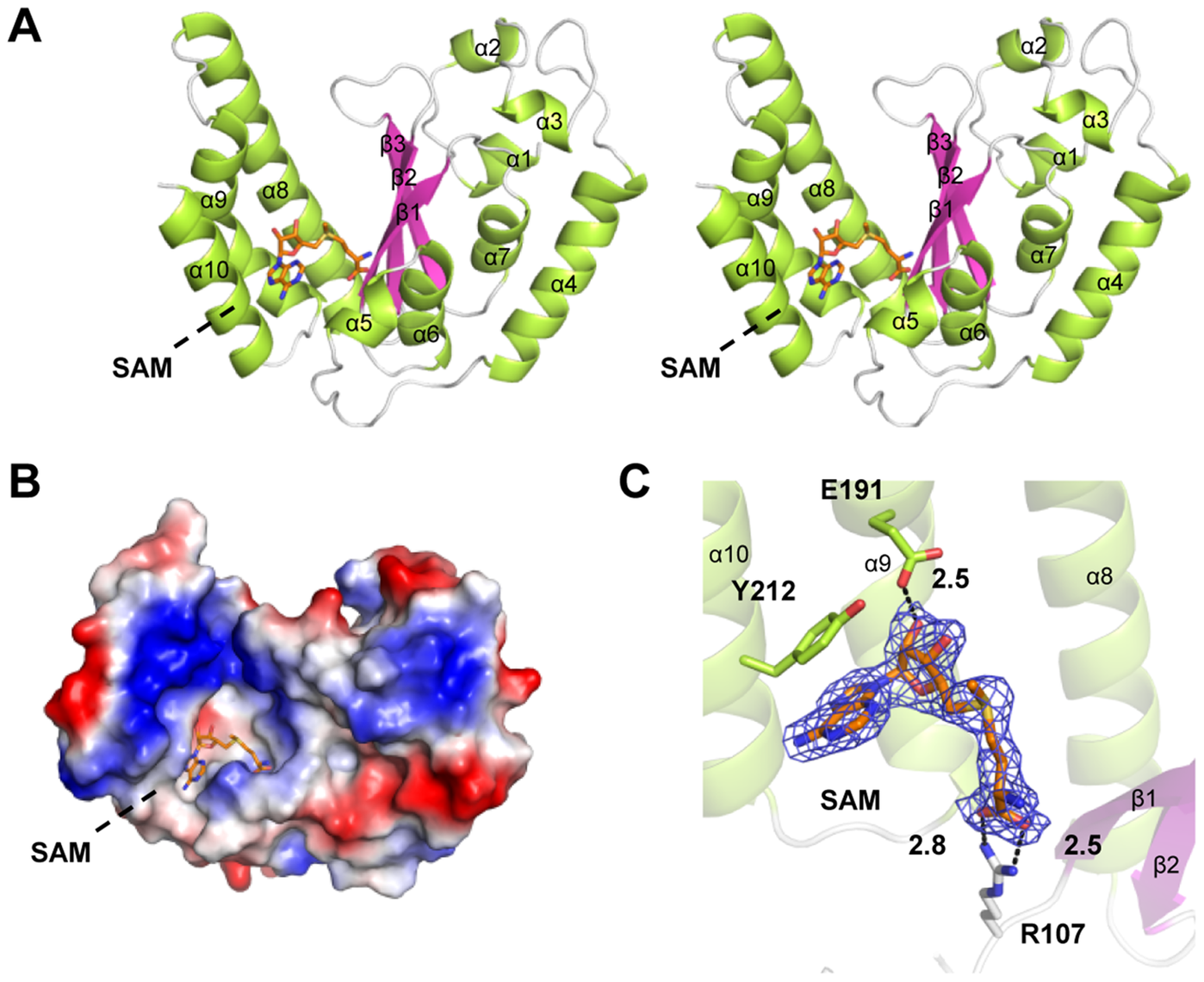 Crystal structure of NleE in complex with SAM.