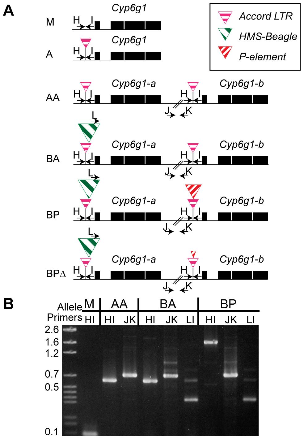 The six alleles of <i>Cyp6g1</i>.
