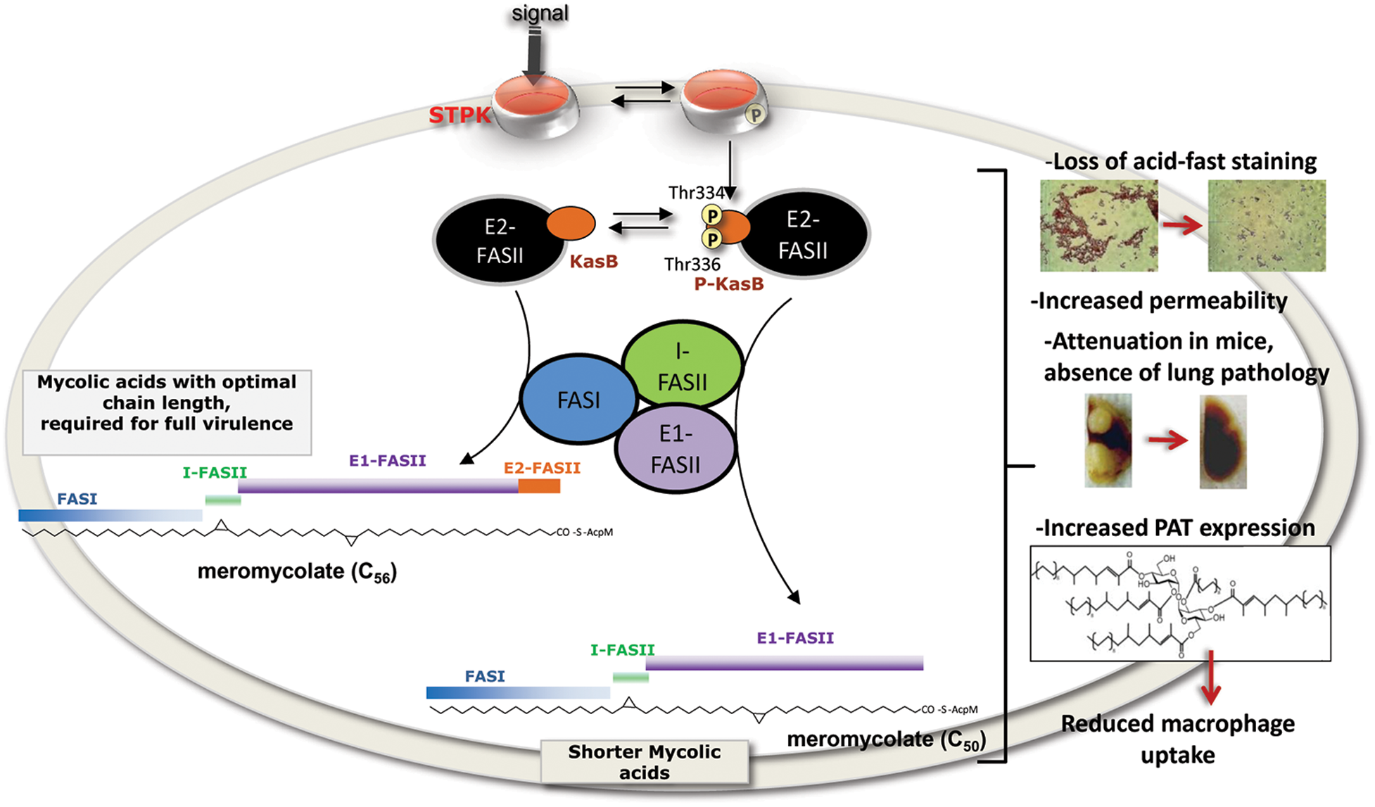 Representation of the <i>in vivo</i> consequences of STPK-dependent phosphorylation of KasB.
