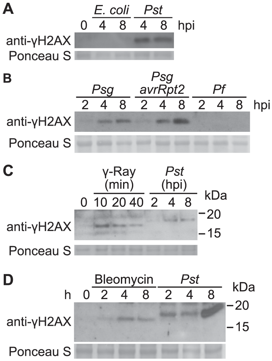 Accumulation of γ-H2AX induced by non-pathogenic pathogens and abiotic stresses.
