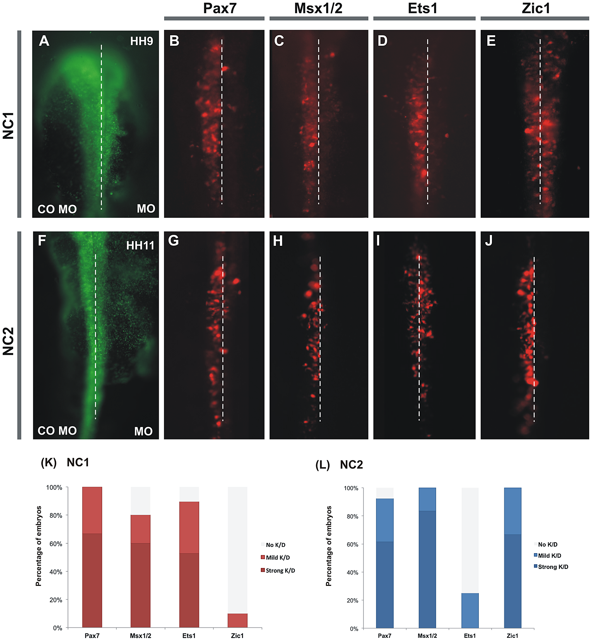 Knockdown of several putative inputs affects activity of NC1 and NC2 enhancers.