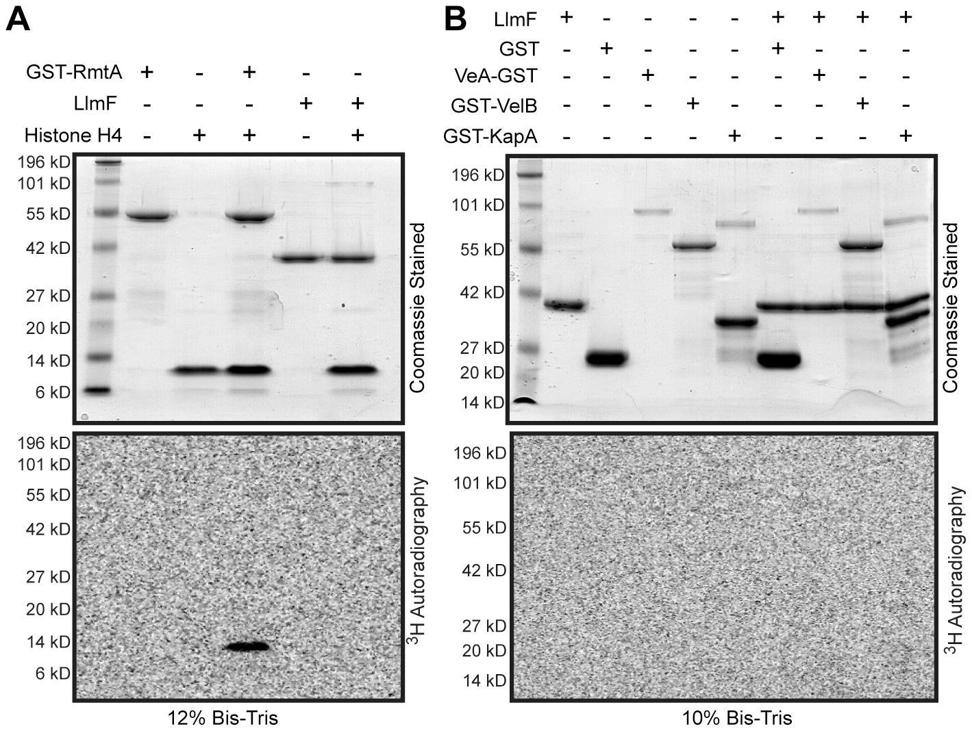 LlmF does not methylate the velvet complex <i>in vitro</i>.