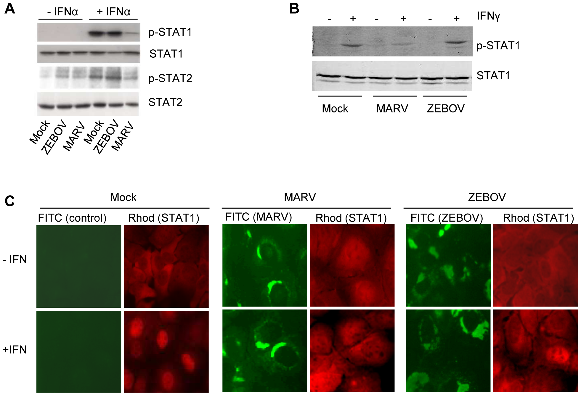 MARV infection prevents IFN-mediated phosphorylation and nuclear translocation of STAT proteins.