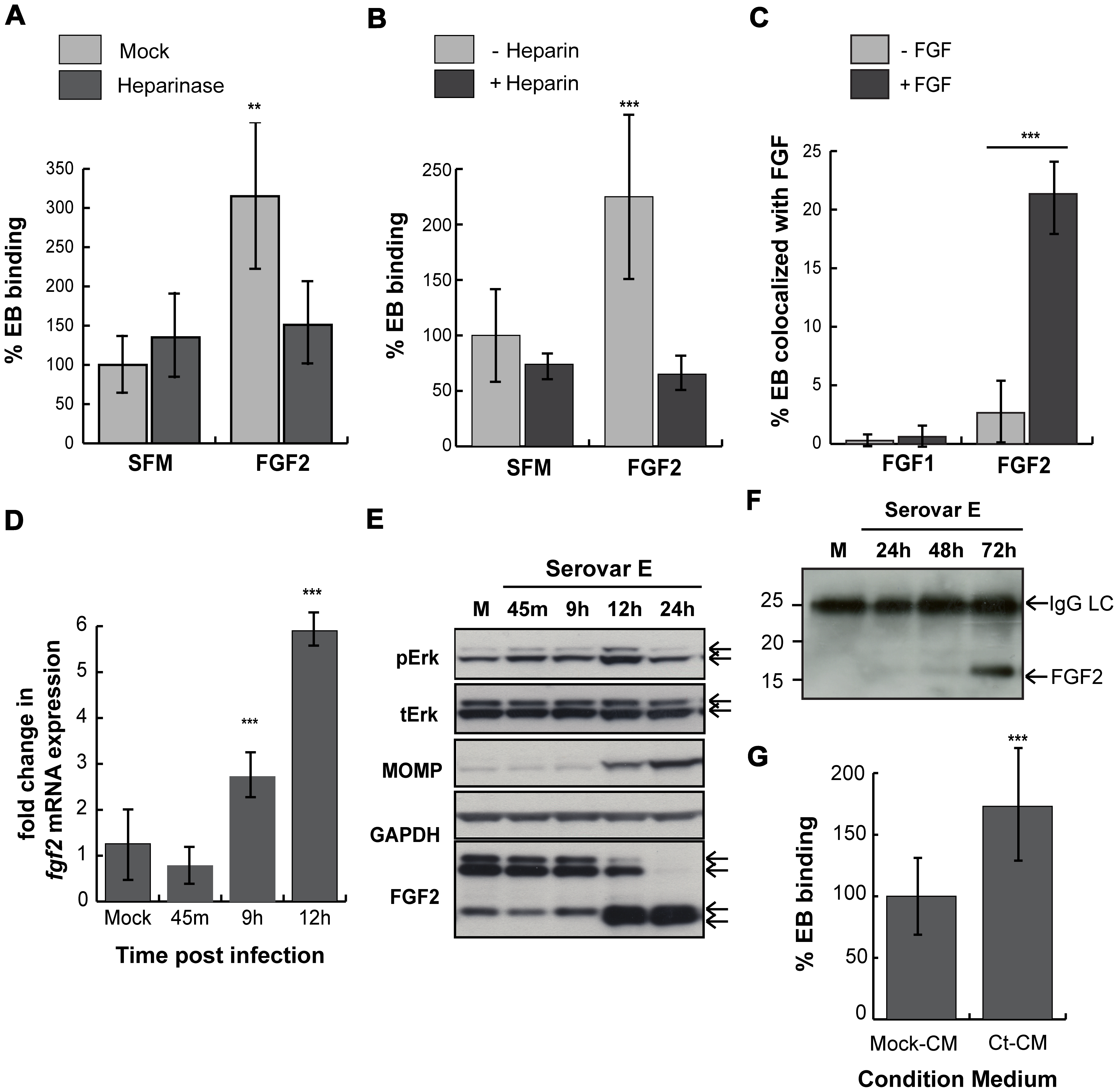 <i>C. trachomatis</i> serovar E co-opts the FGF2 pathway.