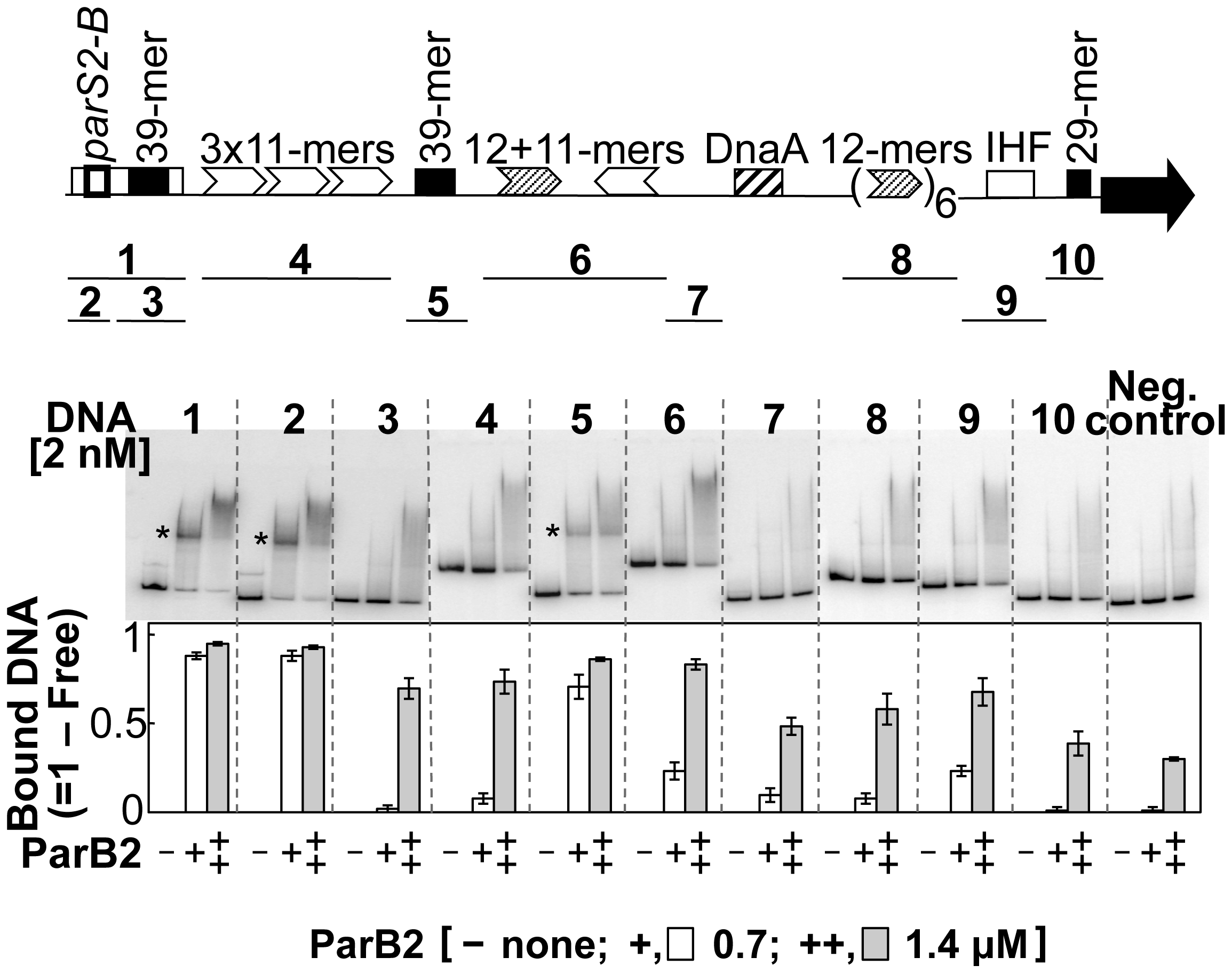 <i>parS2-B</i> and the central 39-mer are the only specific ParB2 binding sites in chrII origin.