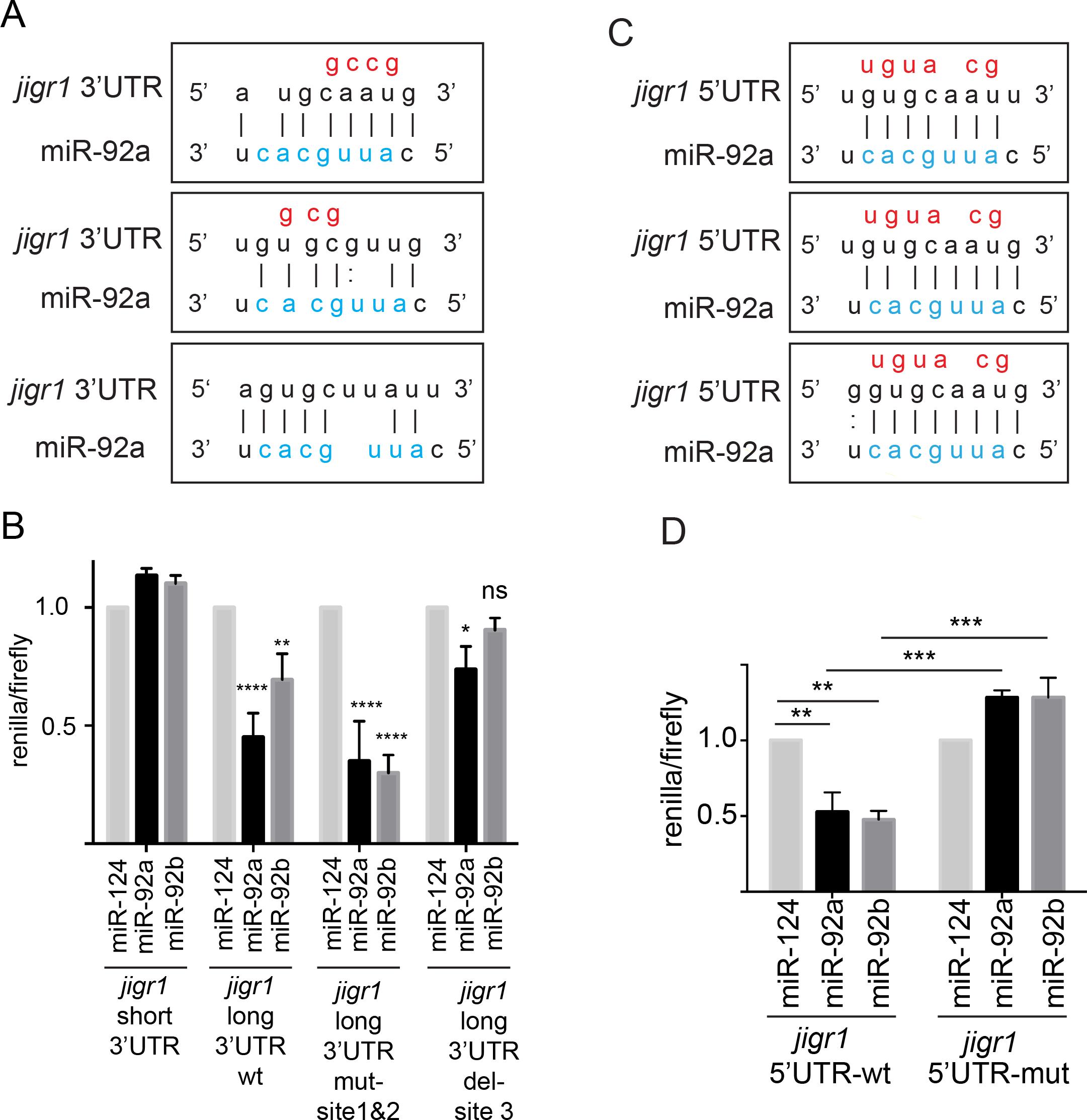 miR-92a and miR-92b target their host gene <i>jigr1</i>.