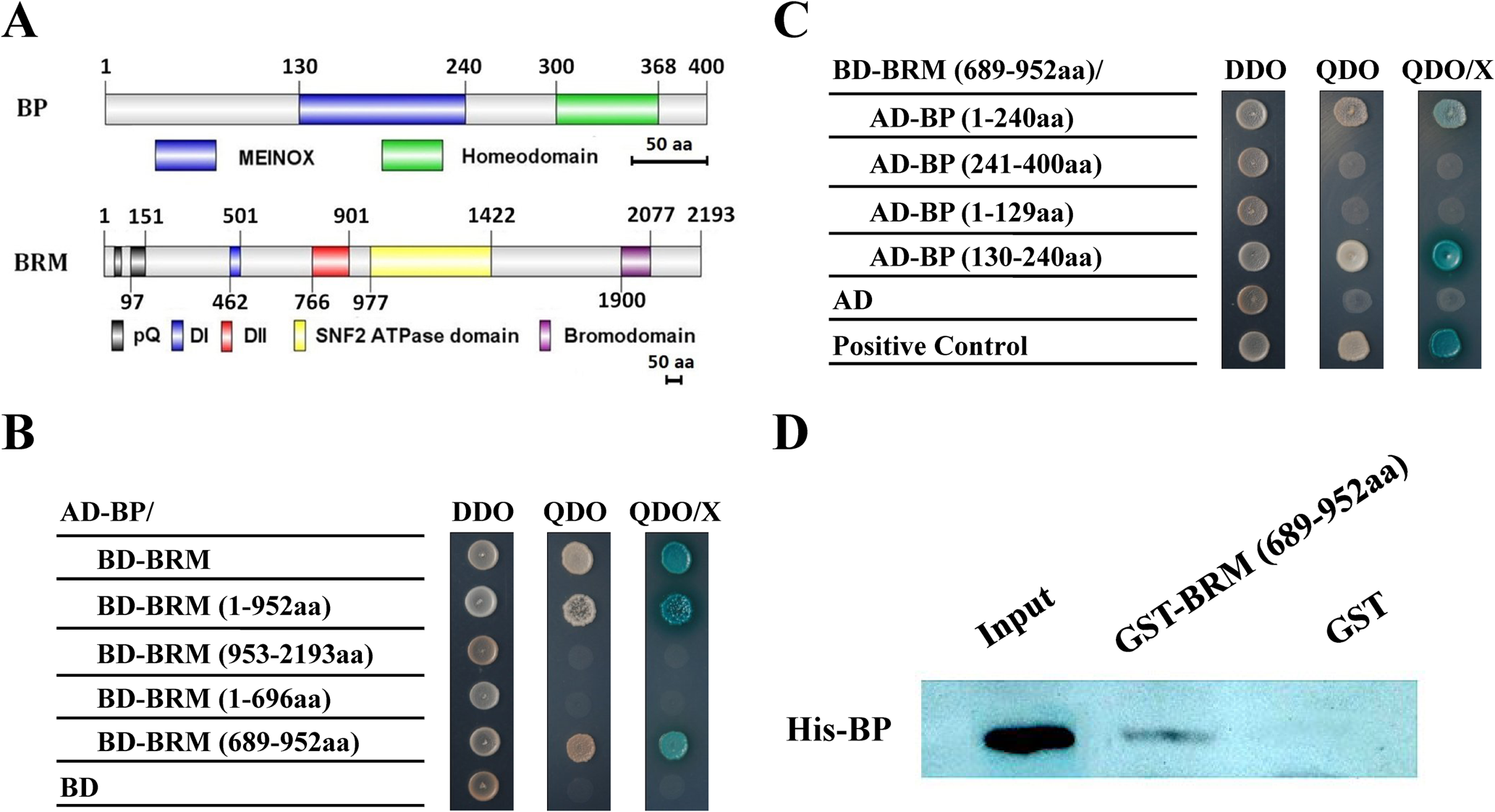 BP interacts with BRM in yeast two-hybrid and <i>in vitro</i> pull-down assays.