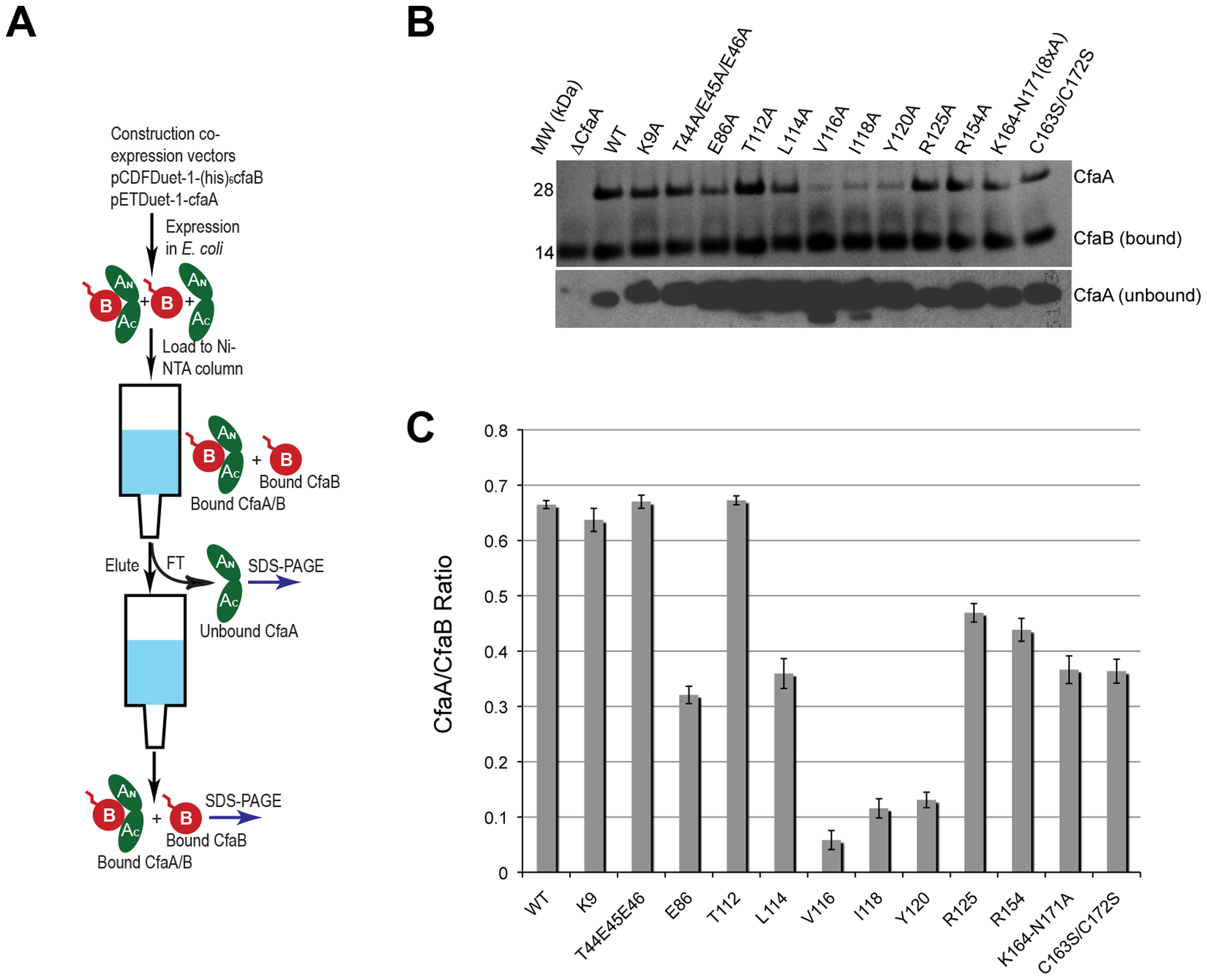 Characterization of CfaA mutants in forming complex with CfaB.