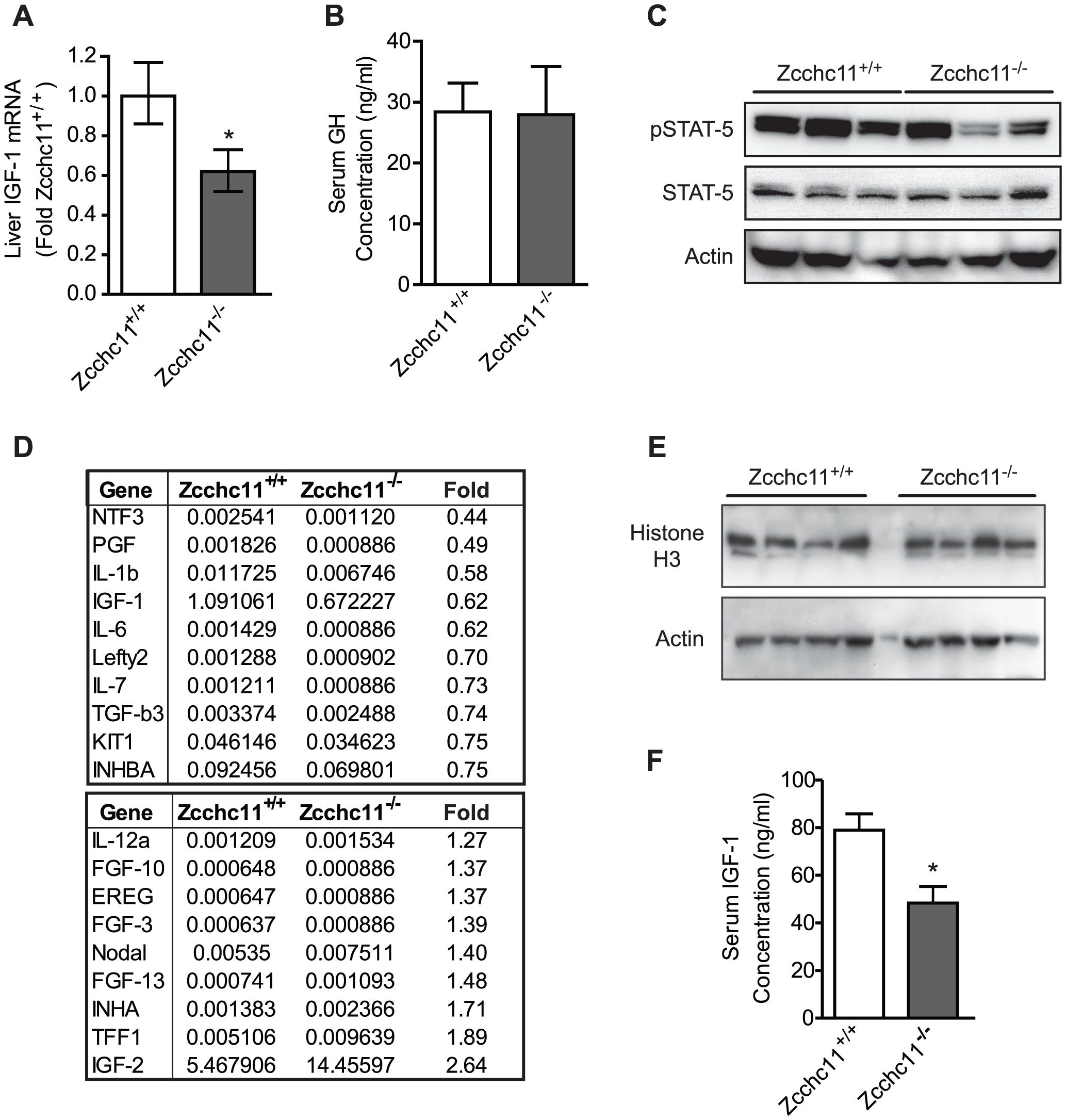 Zcchc11 deficiency decreases IGF-1 expression <i>in vivo</i>.